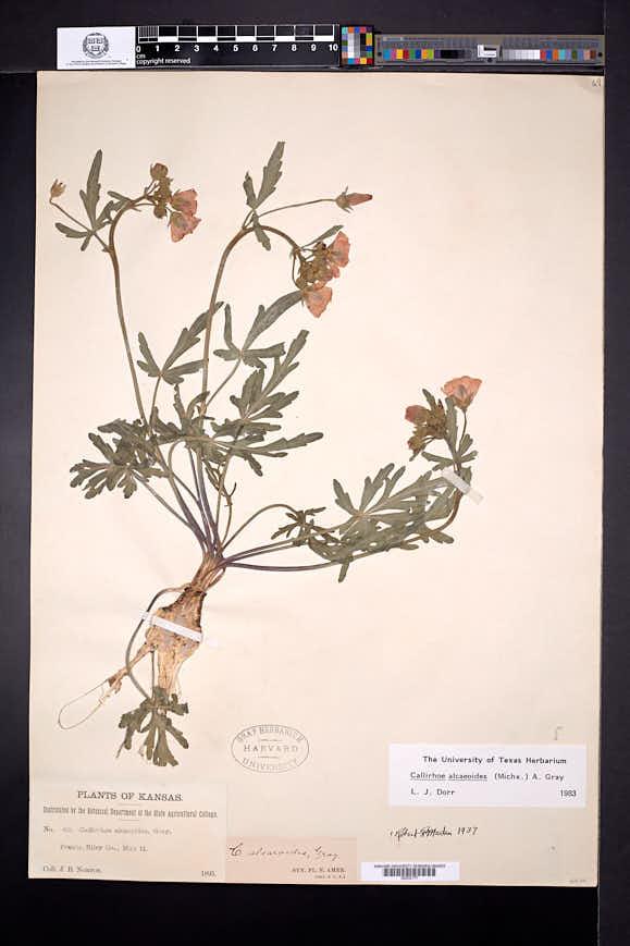 Callirhoe alcaeoides image