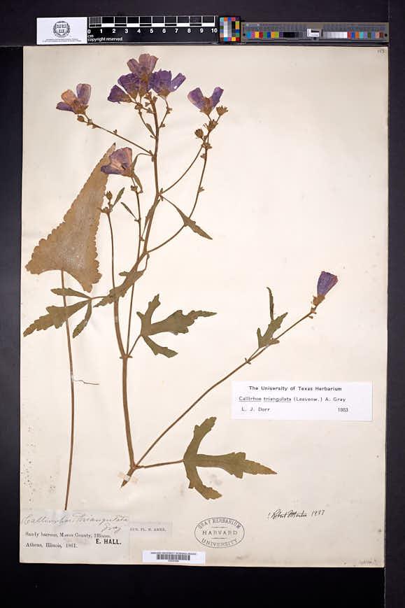 Callirhoe triangulata image