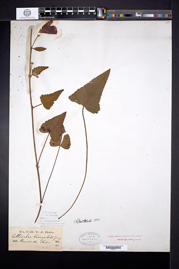 Sphaeralcea digitata image