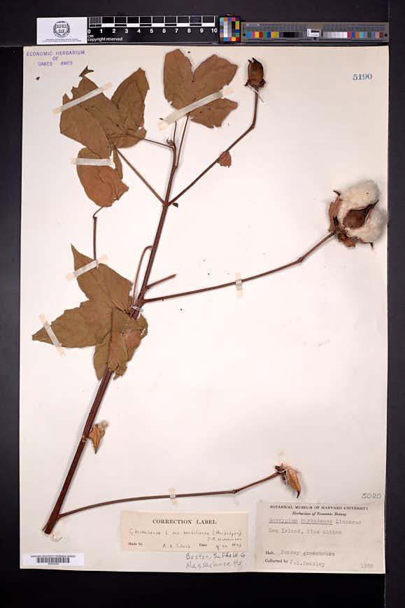 Gossypium barbadense image