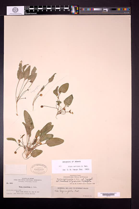 Viola vallicola image