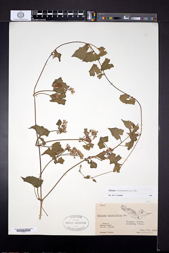 Mikania batatifolia image