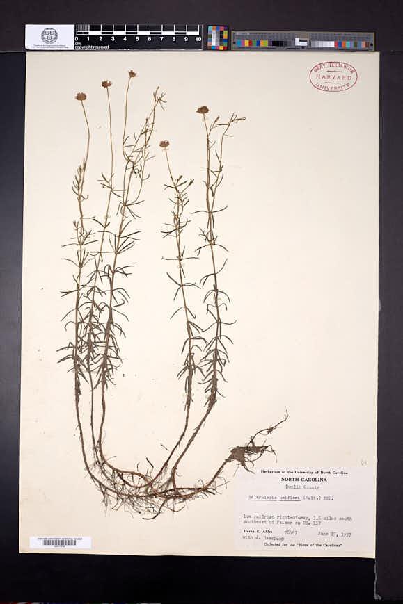 Sclerolepis uniflora image
