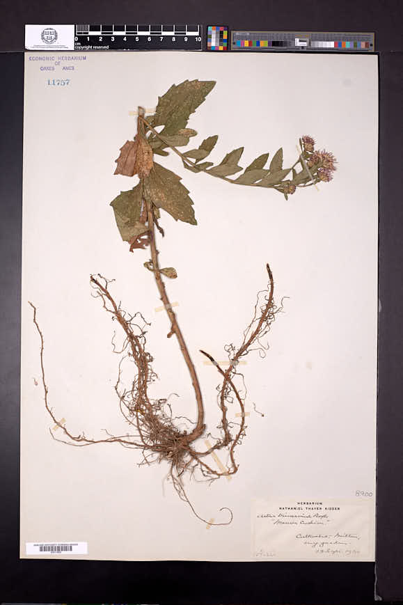 Image of Aster ageratoides