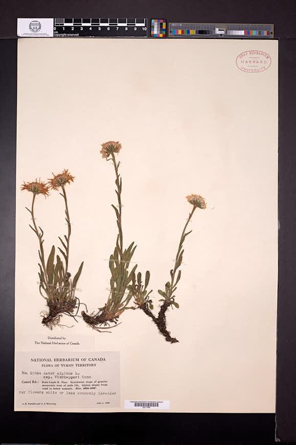 Aster alpinus image