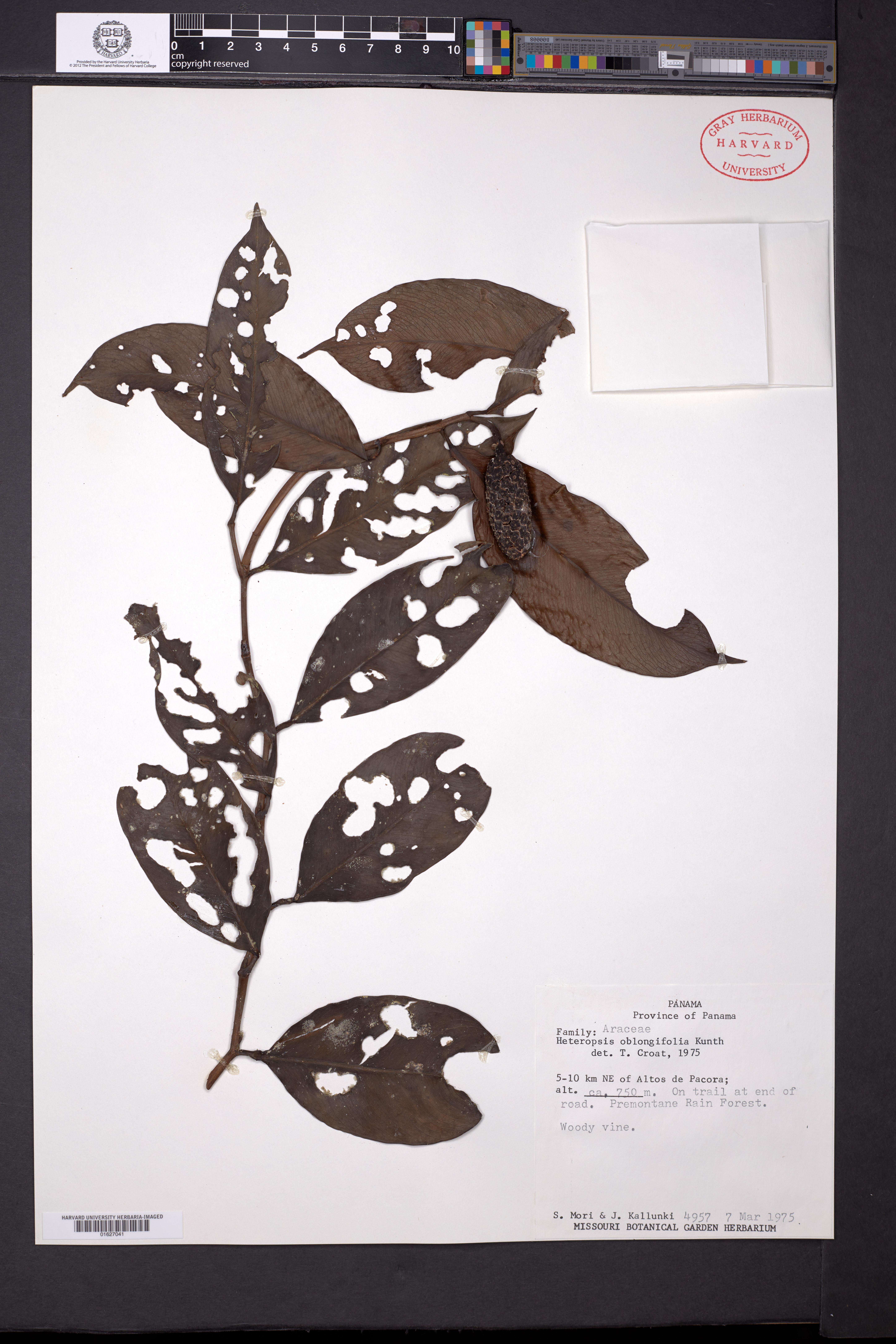 Heteropsis image