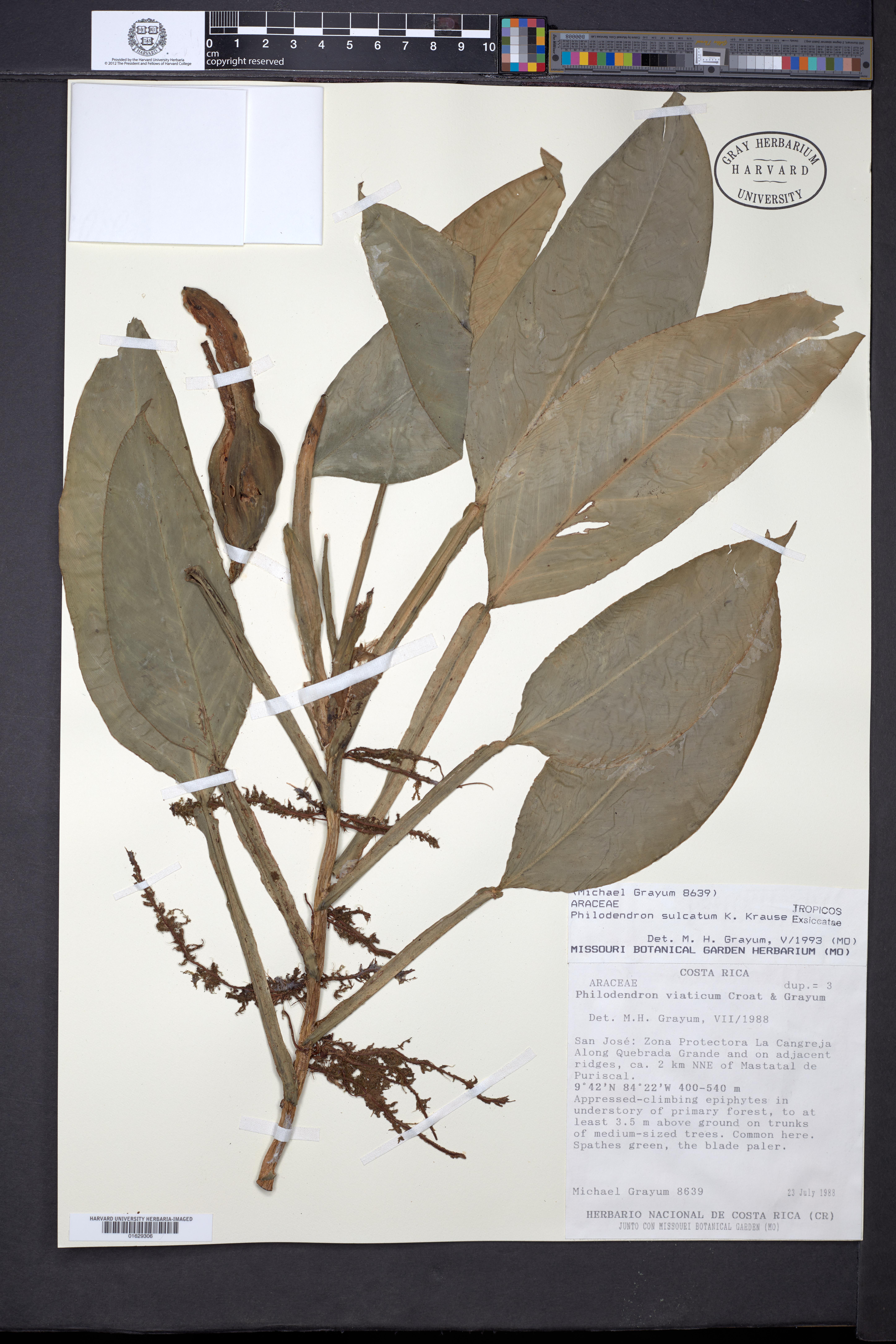 Philodendron sulcatum image