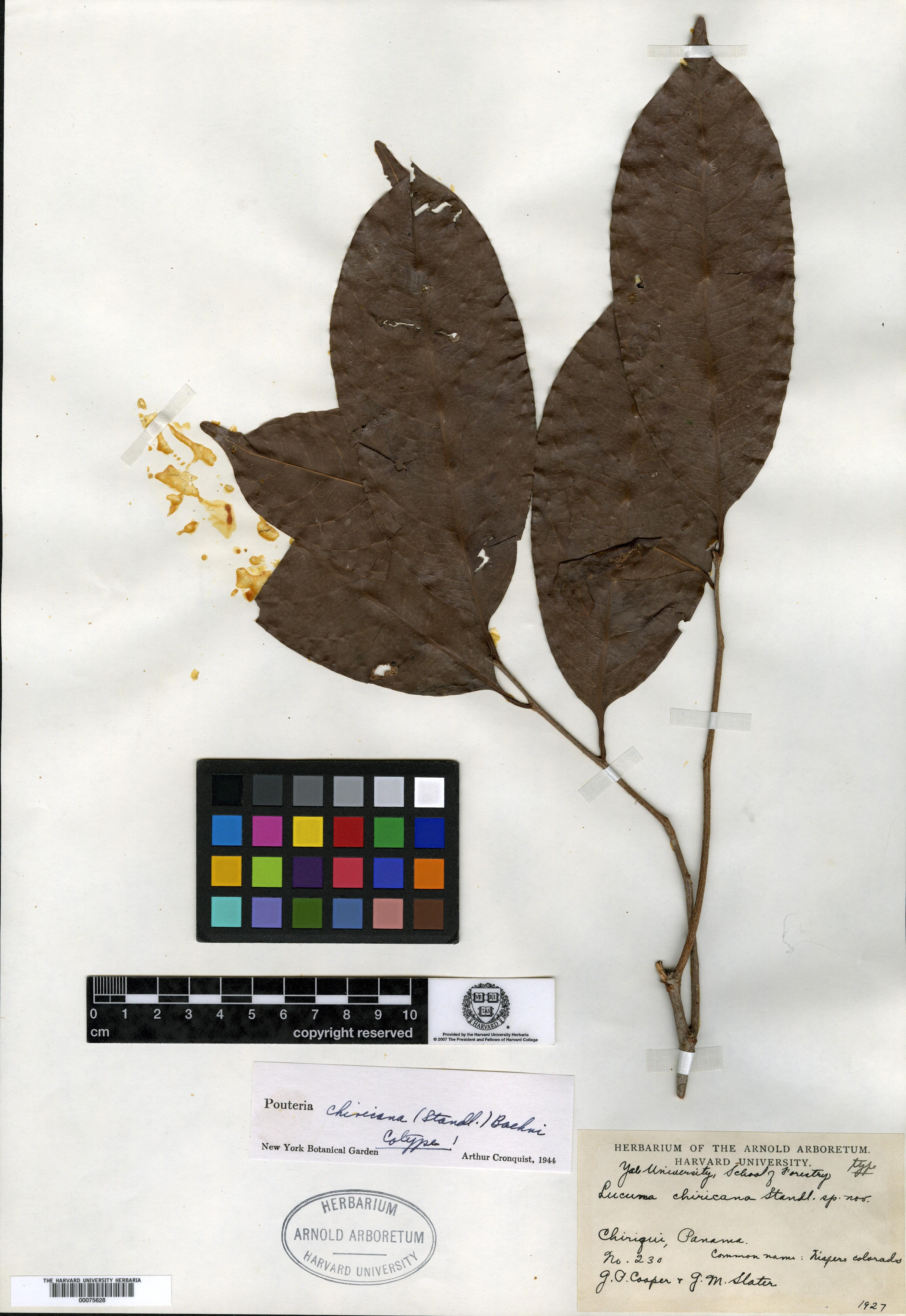 Pouteria chiricana image