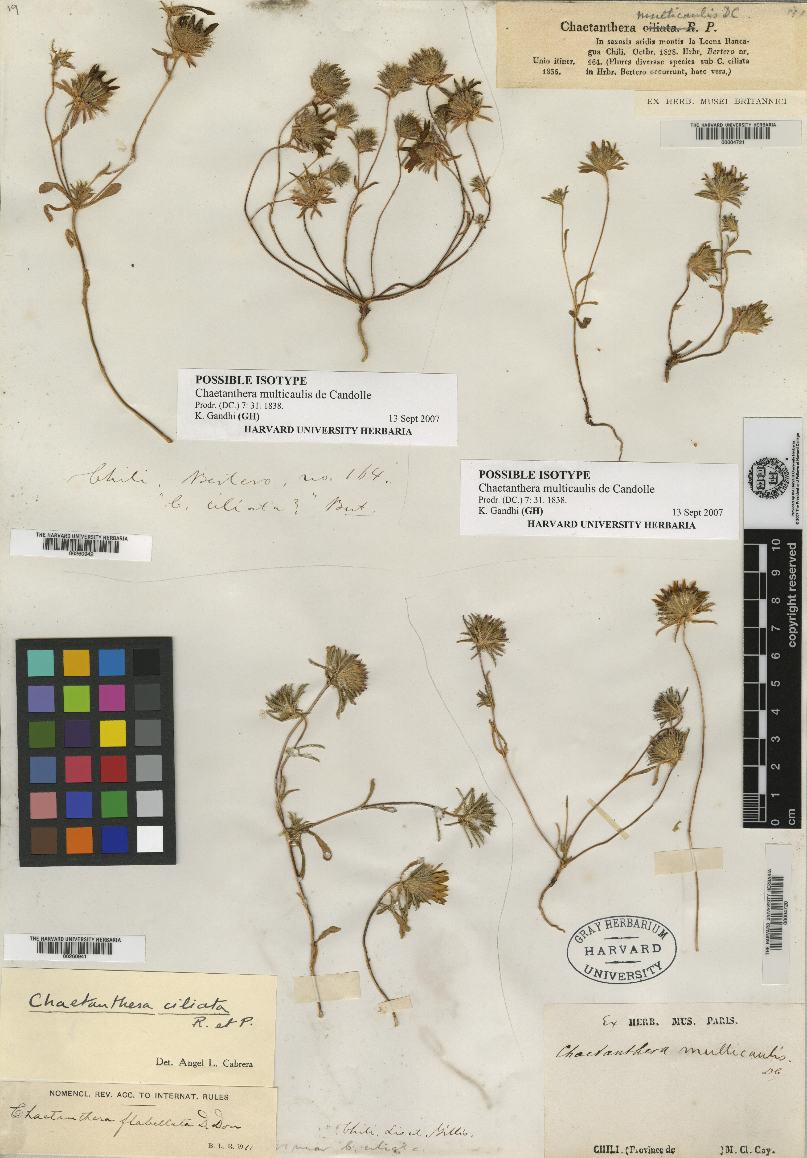 Chaetanthera multicaulis image