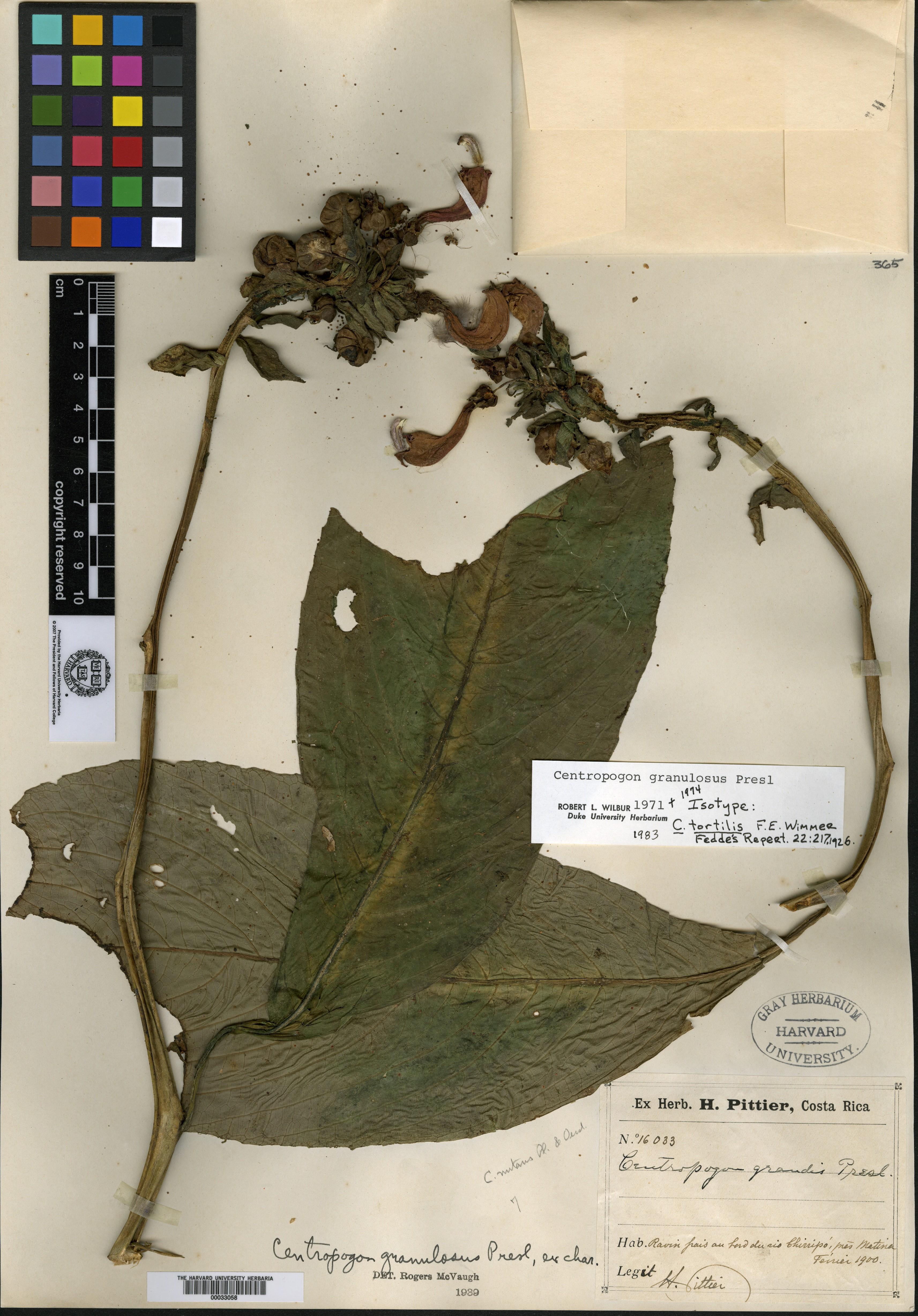 Centropogon tortilis image