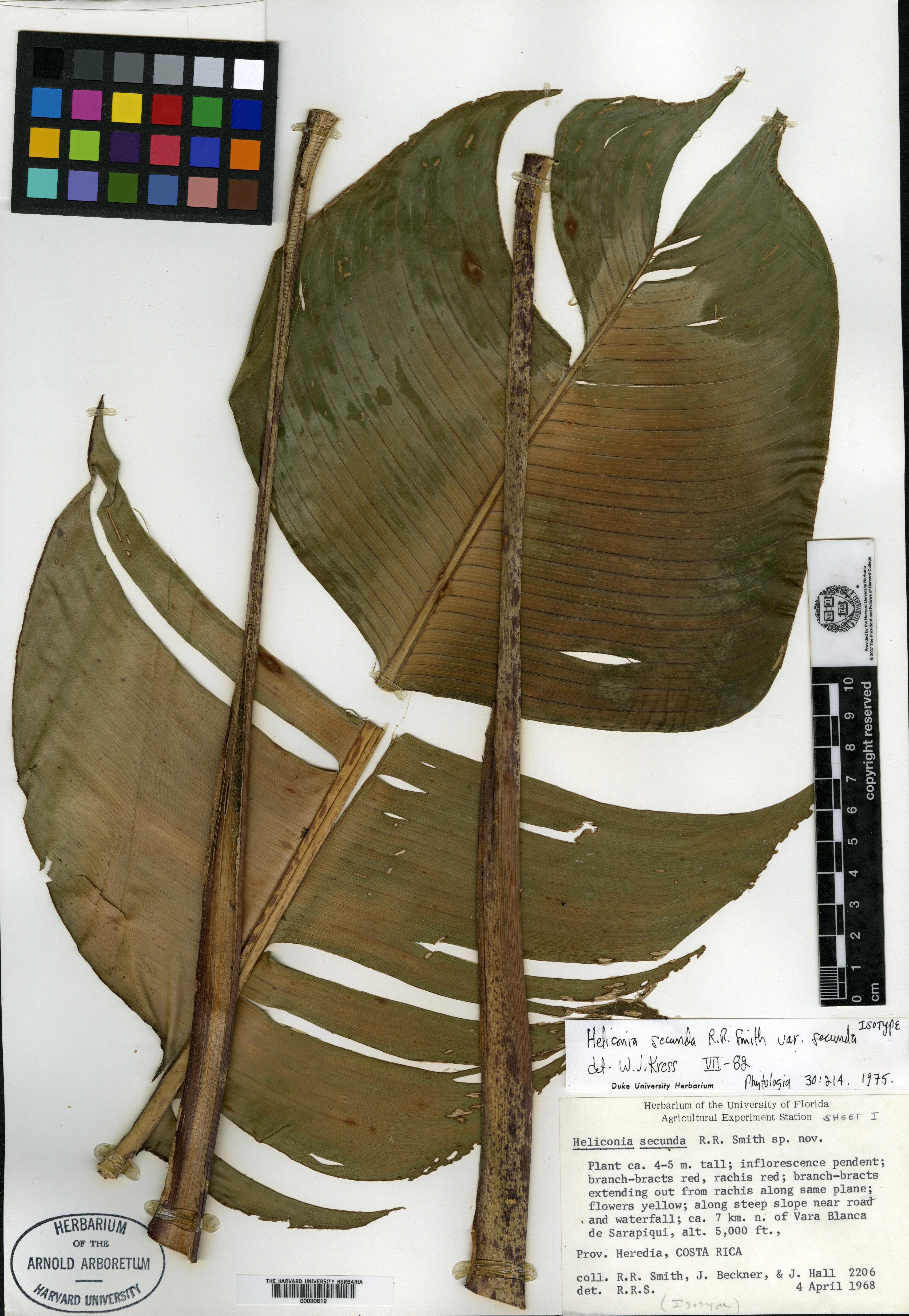 Heliconia secunda image
