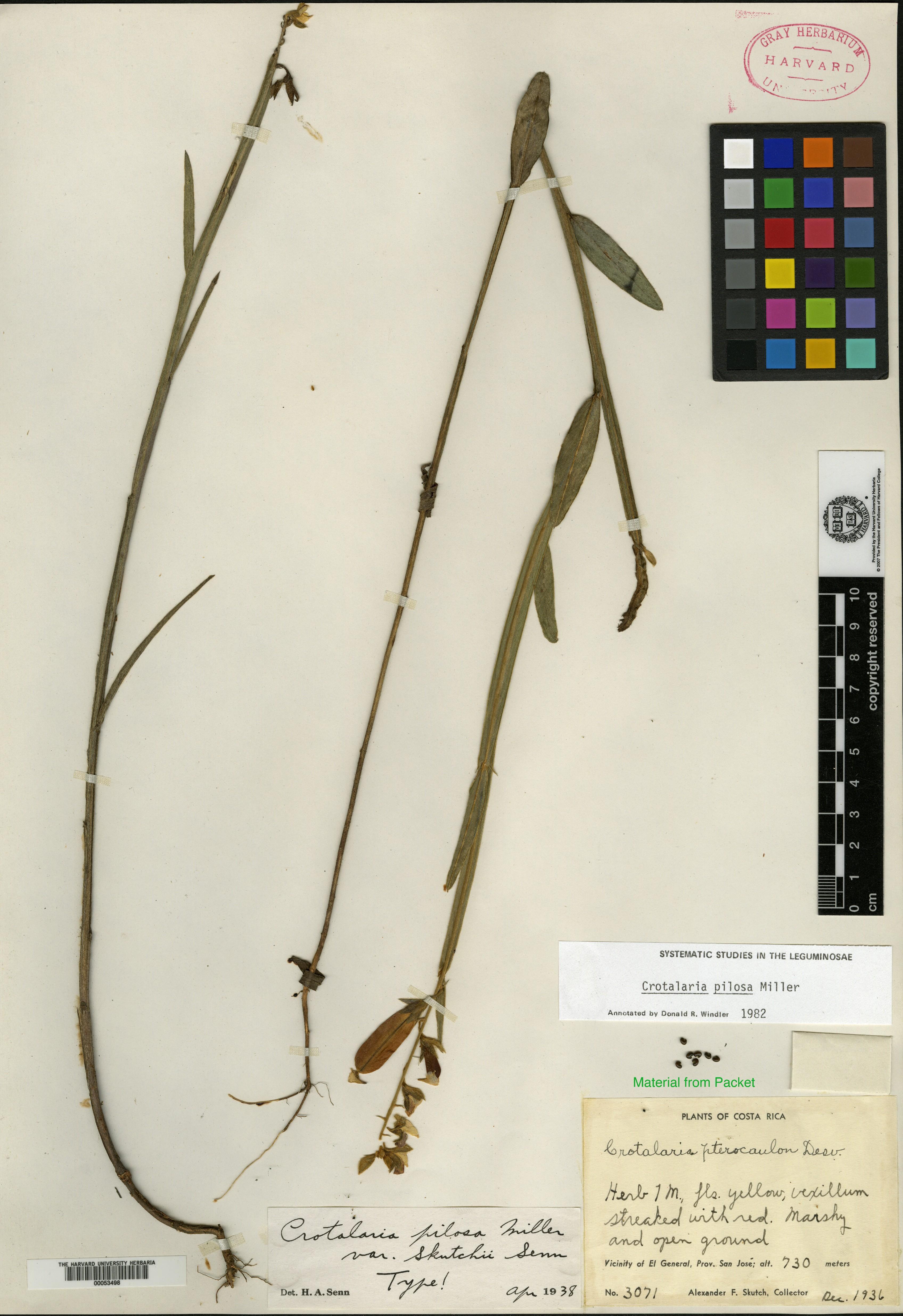 Crotalaria pilosa image