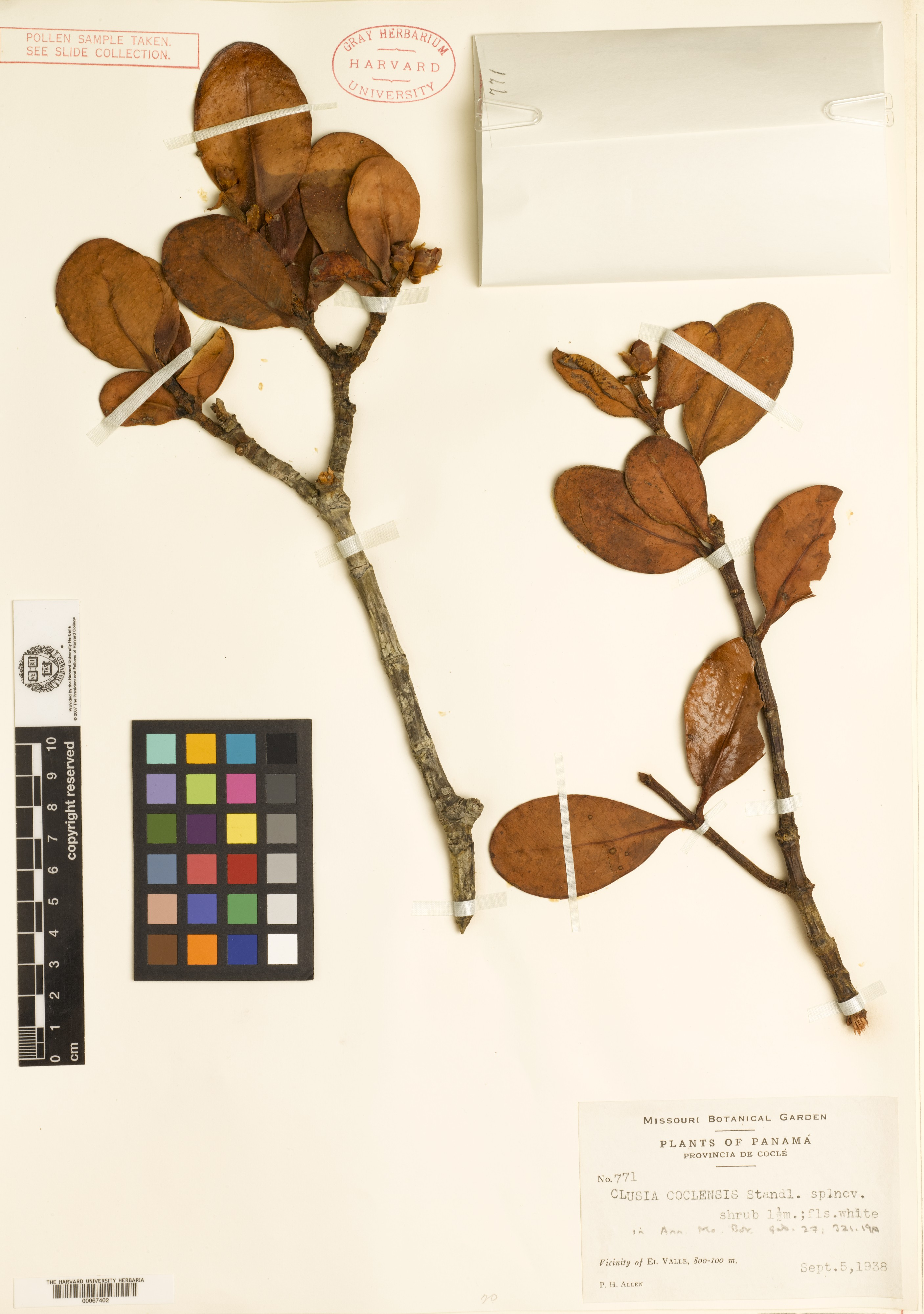 Clusia coclensis image