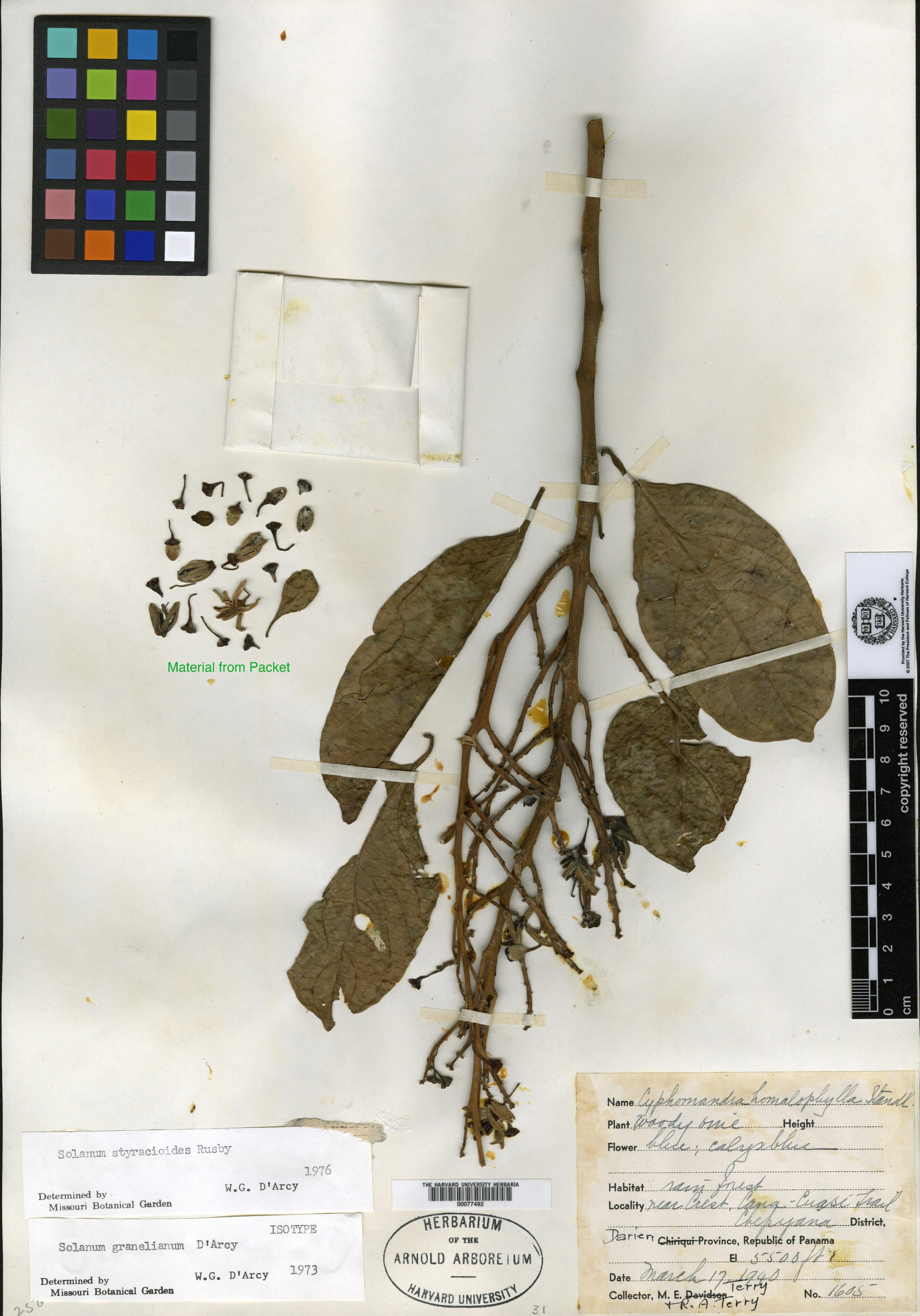 Solanum pensile image