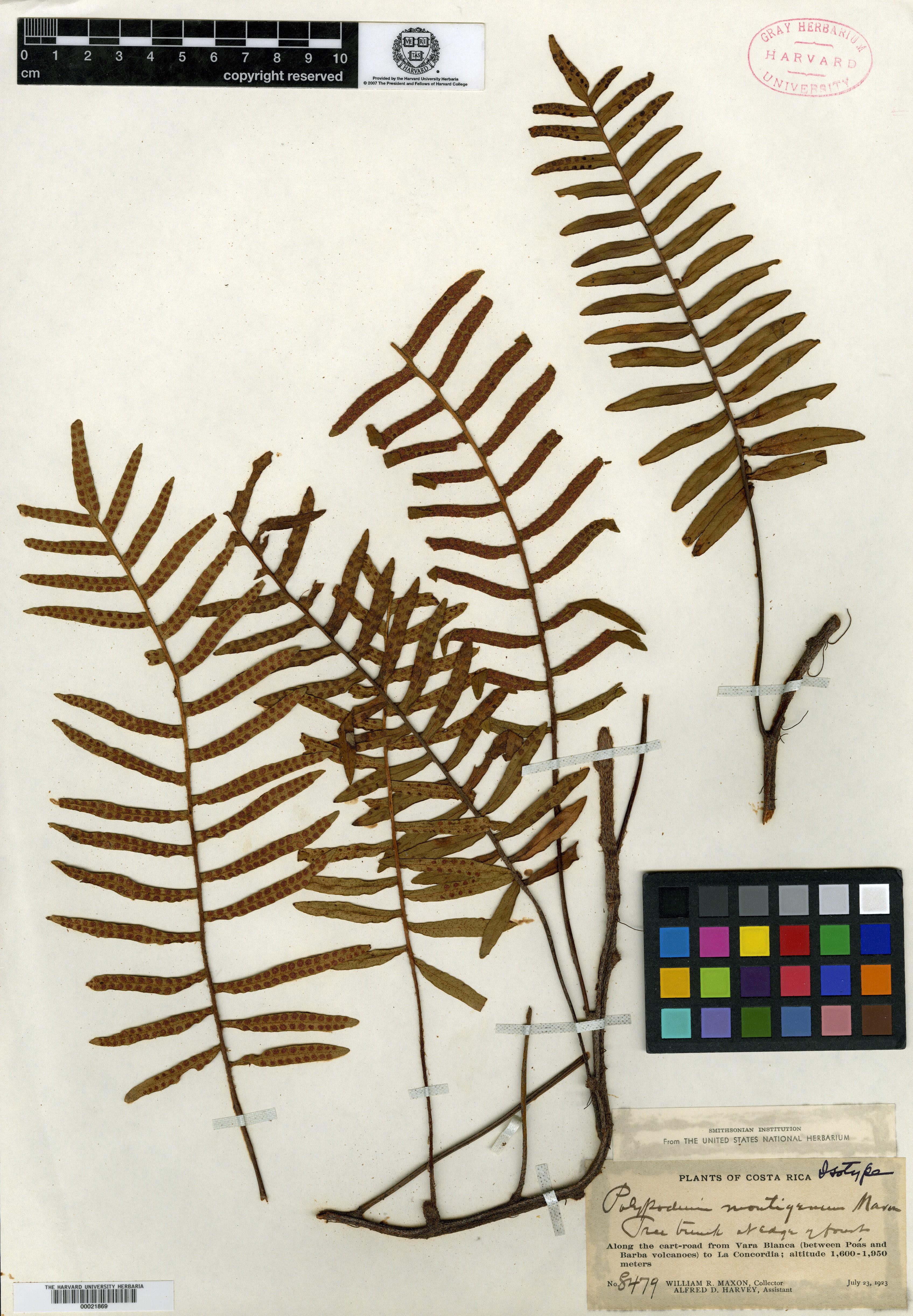 Polypodium montigenum image