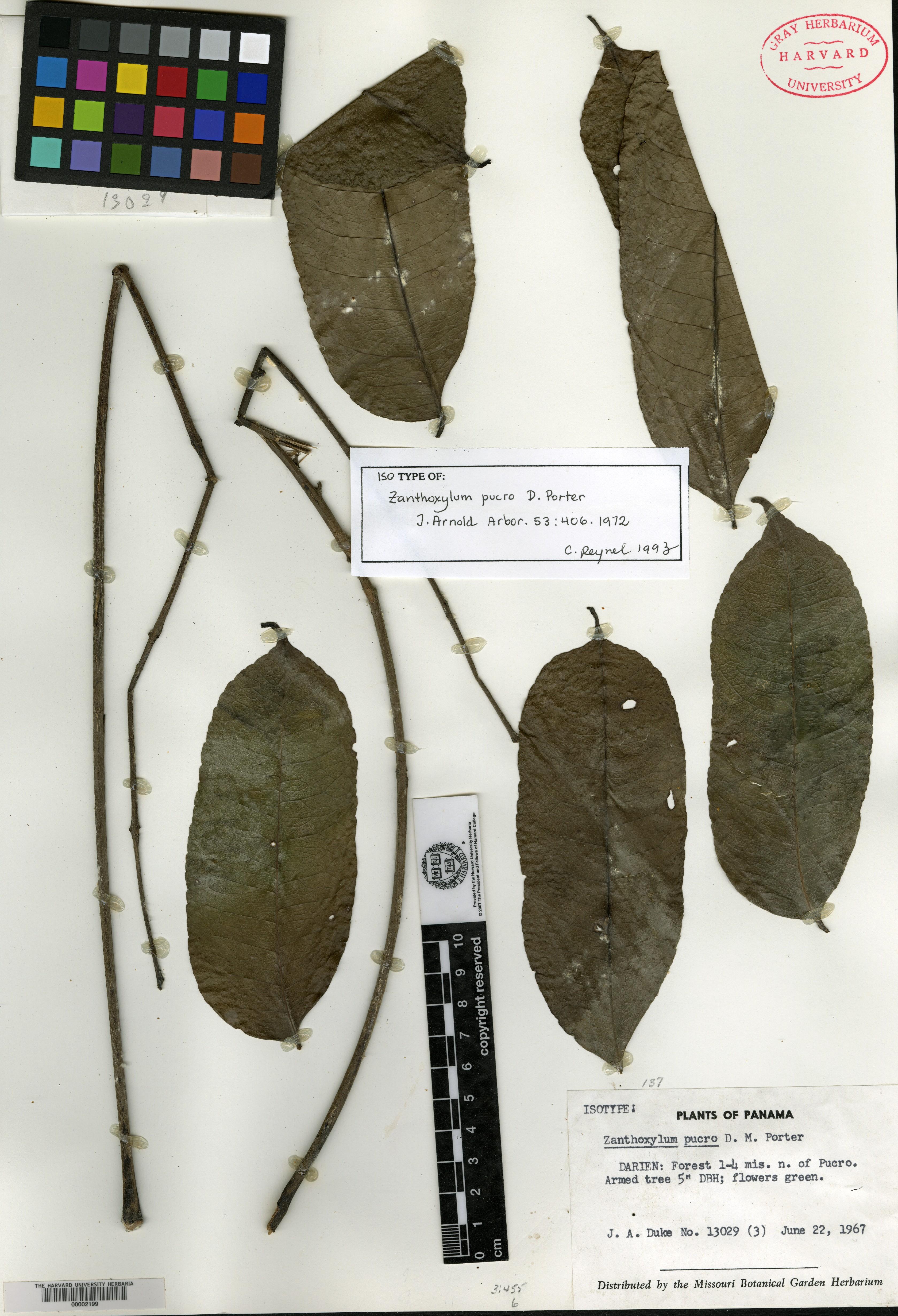 Zanthoxylum pucro image