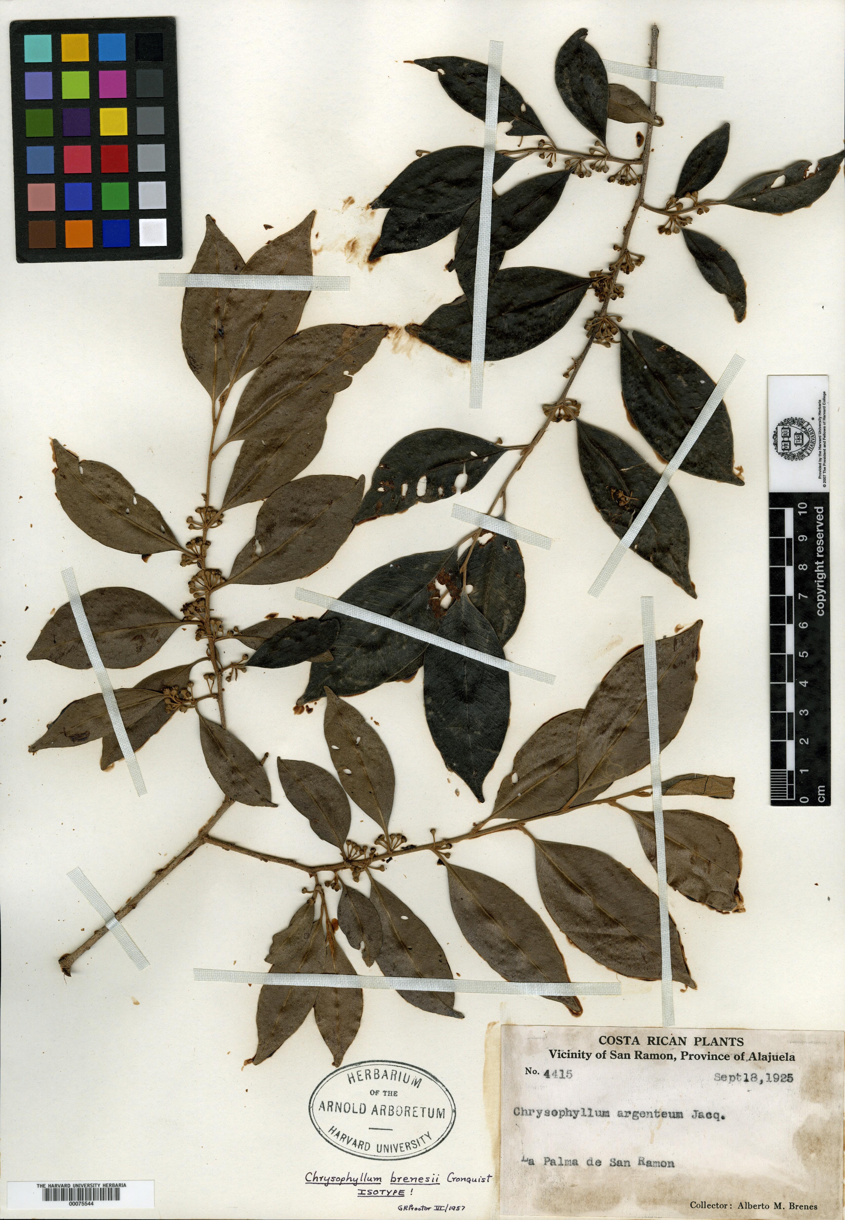 Chrysophyllum brenesii image