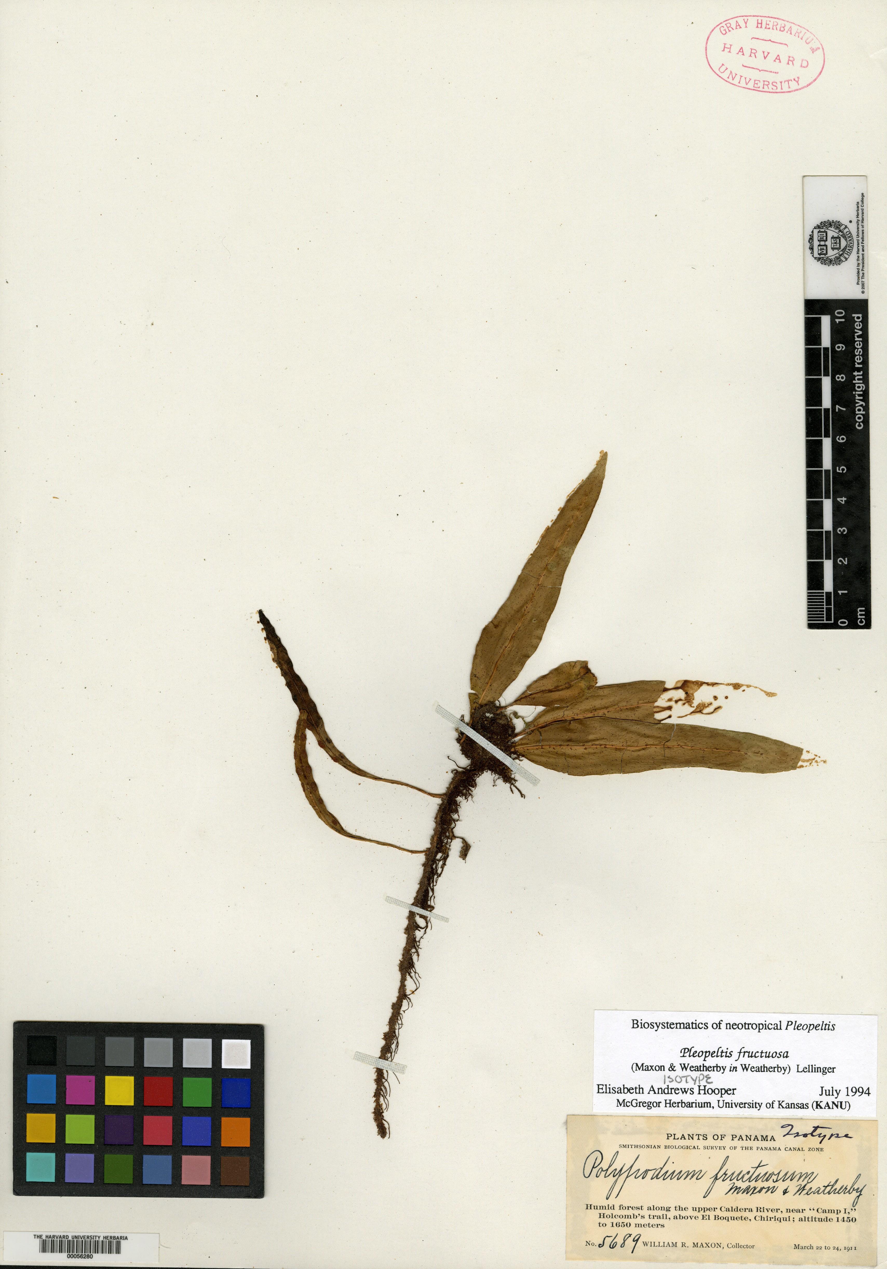 Pleopeltis fructuosa image