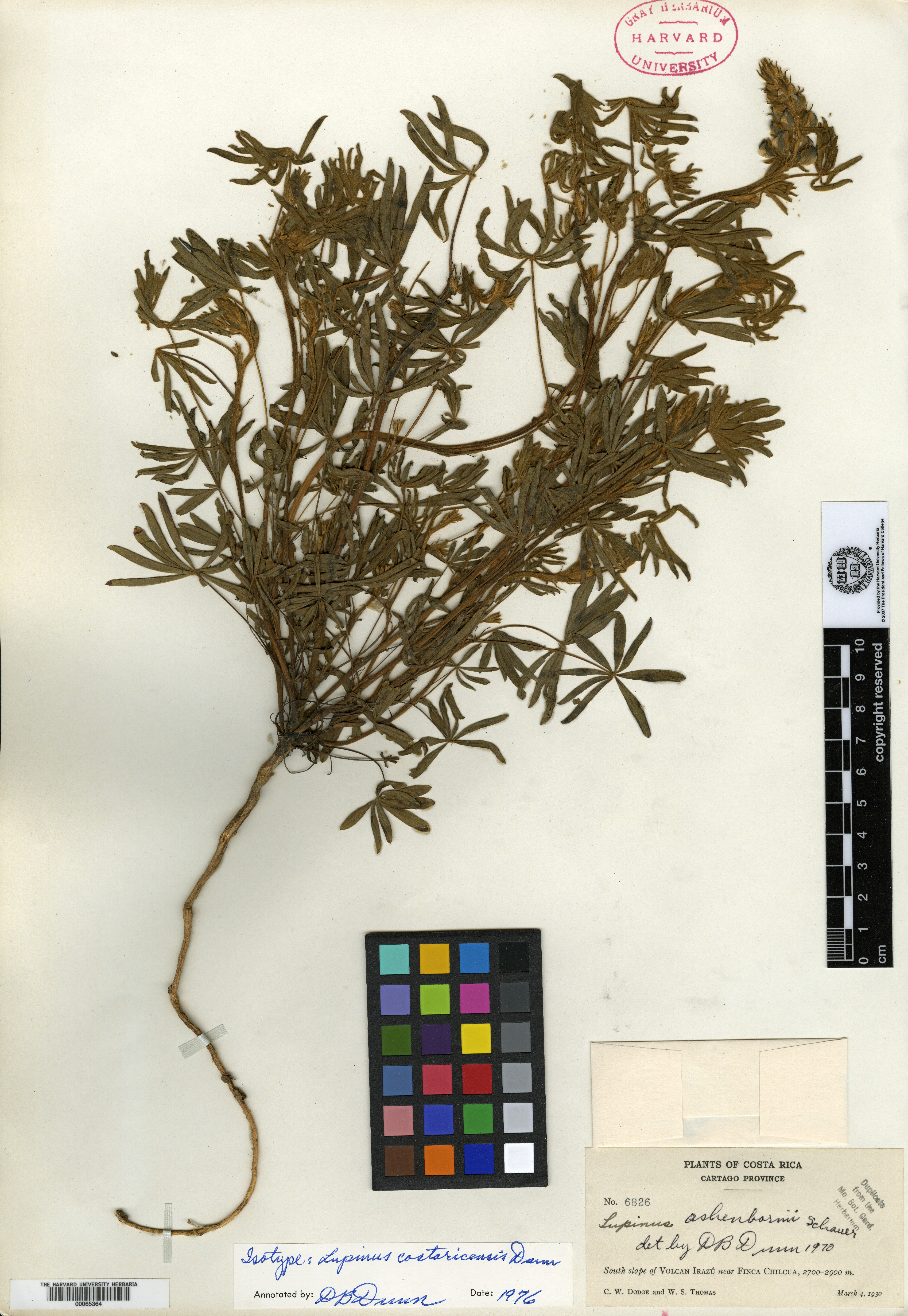 Lupinus costaricensis image
