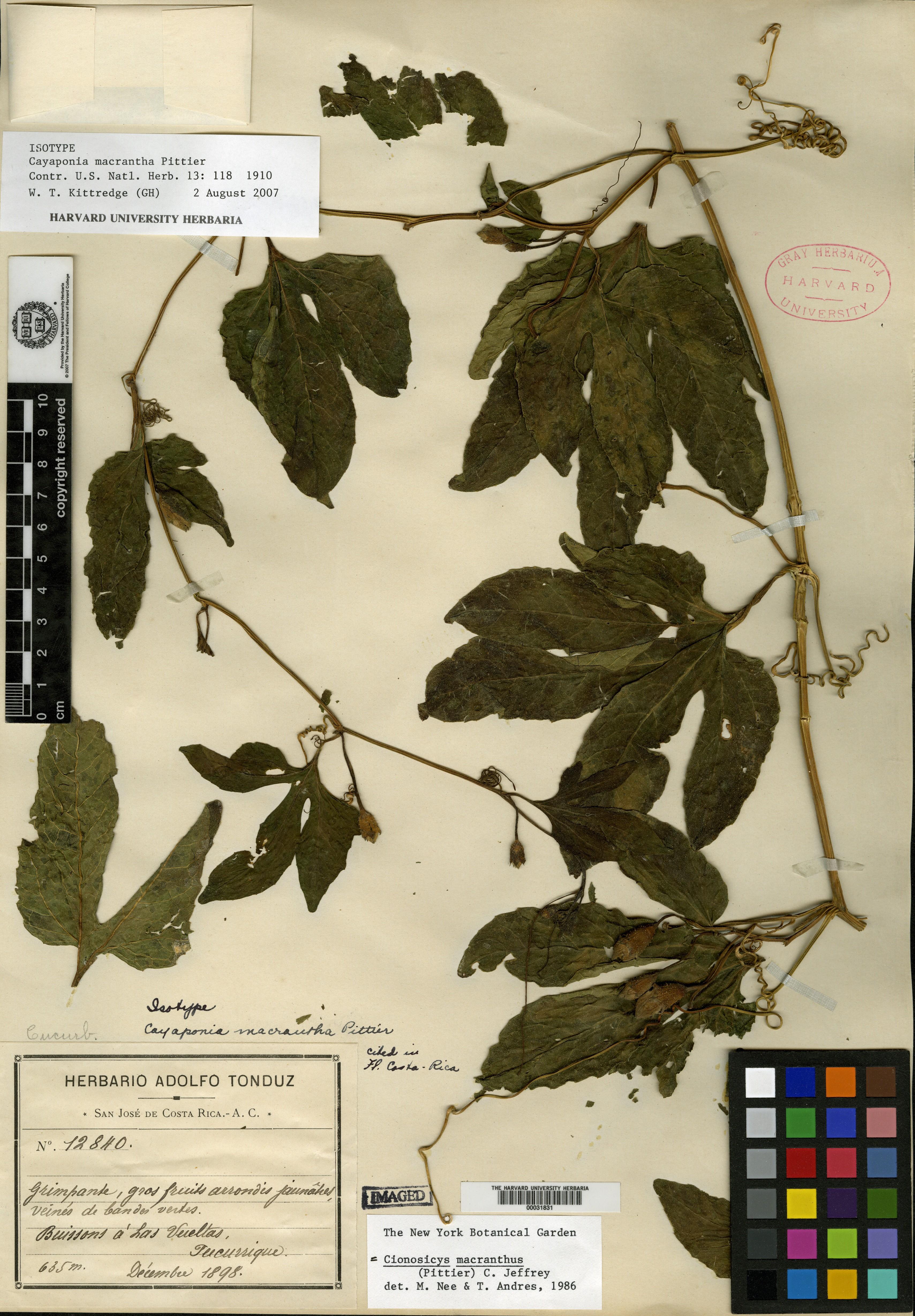 Cionosicys macranthus image