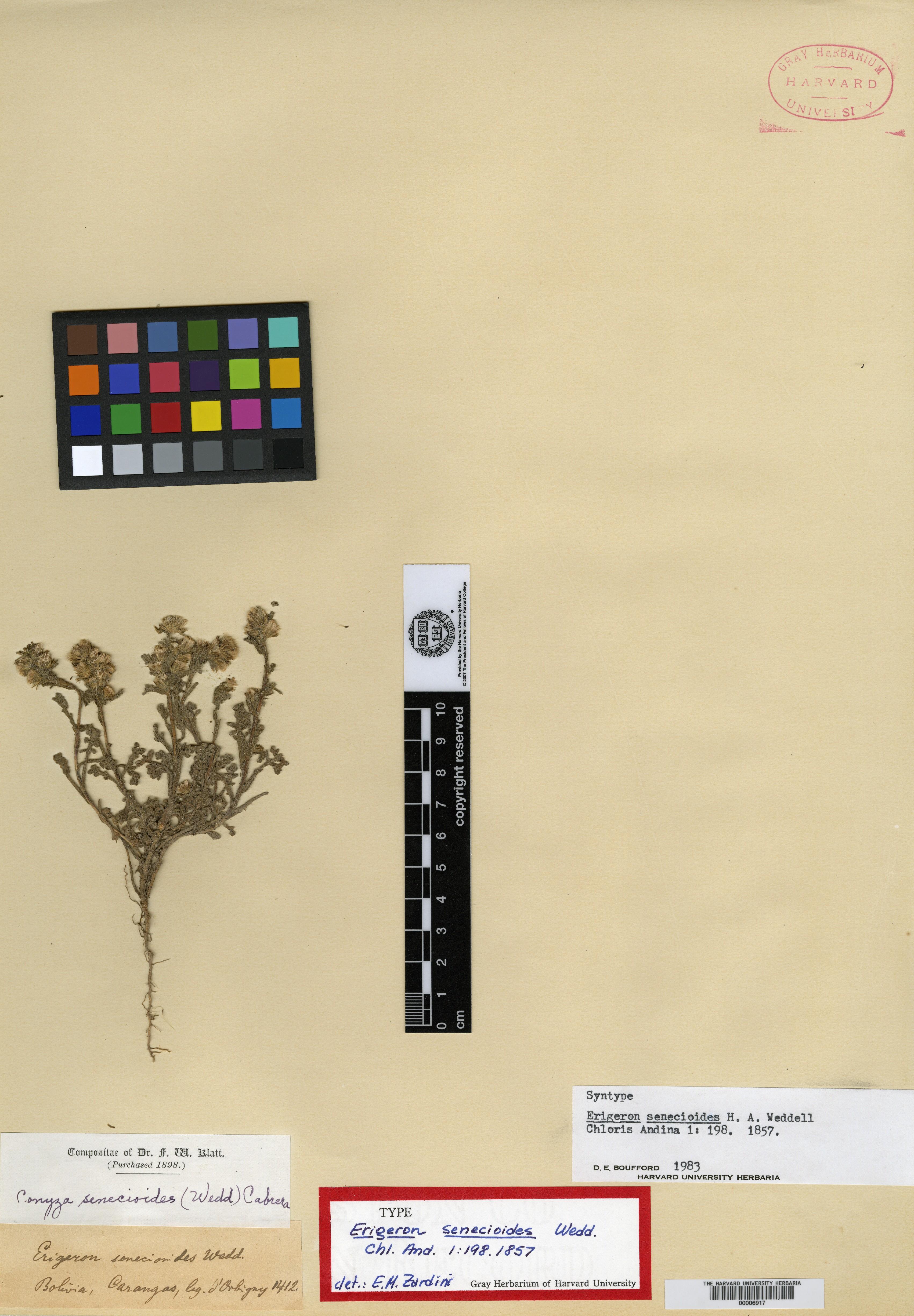 Erigeron senecioides image