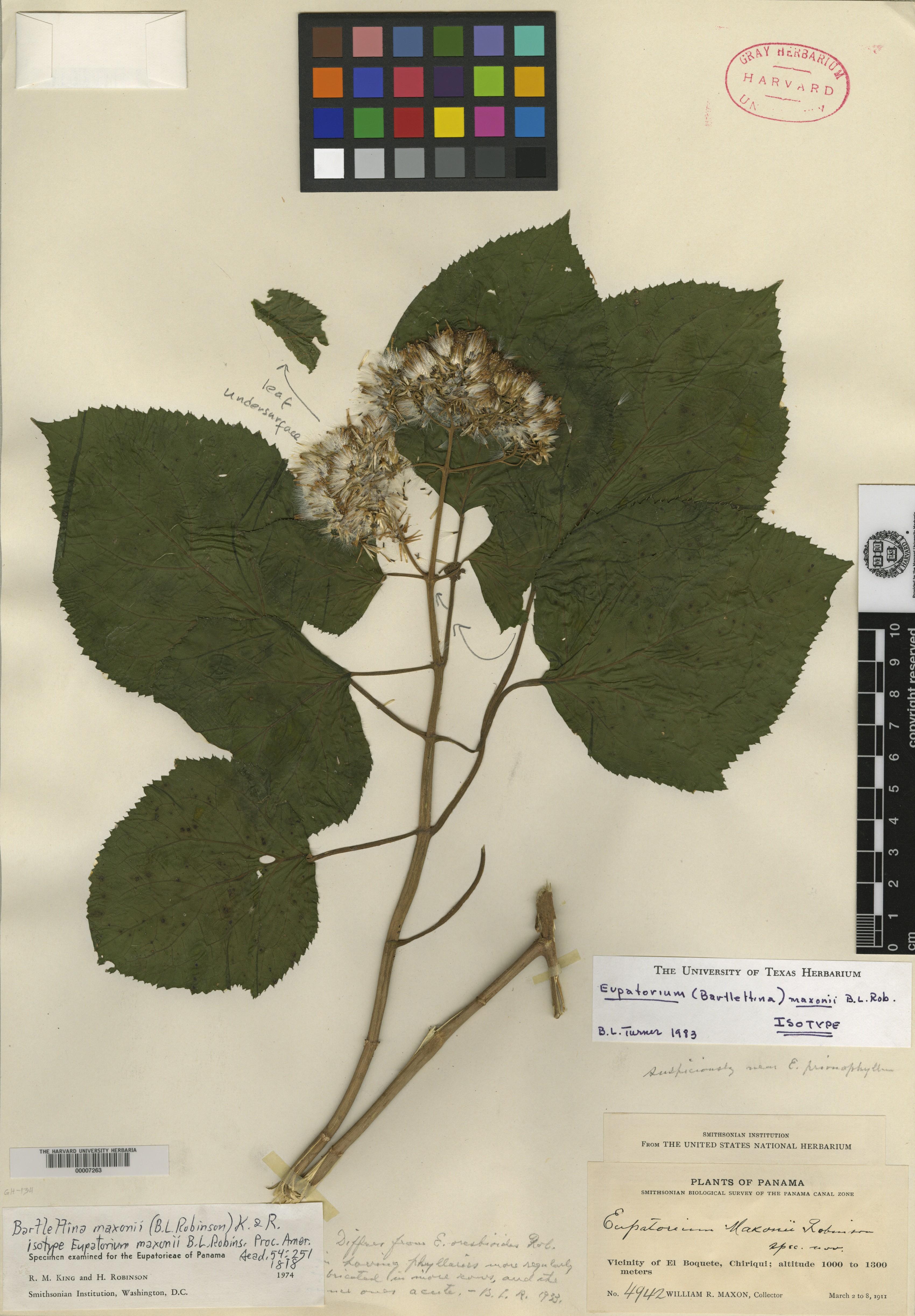 Bartlettina maxonii image