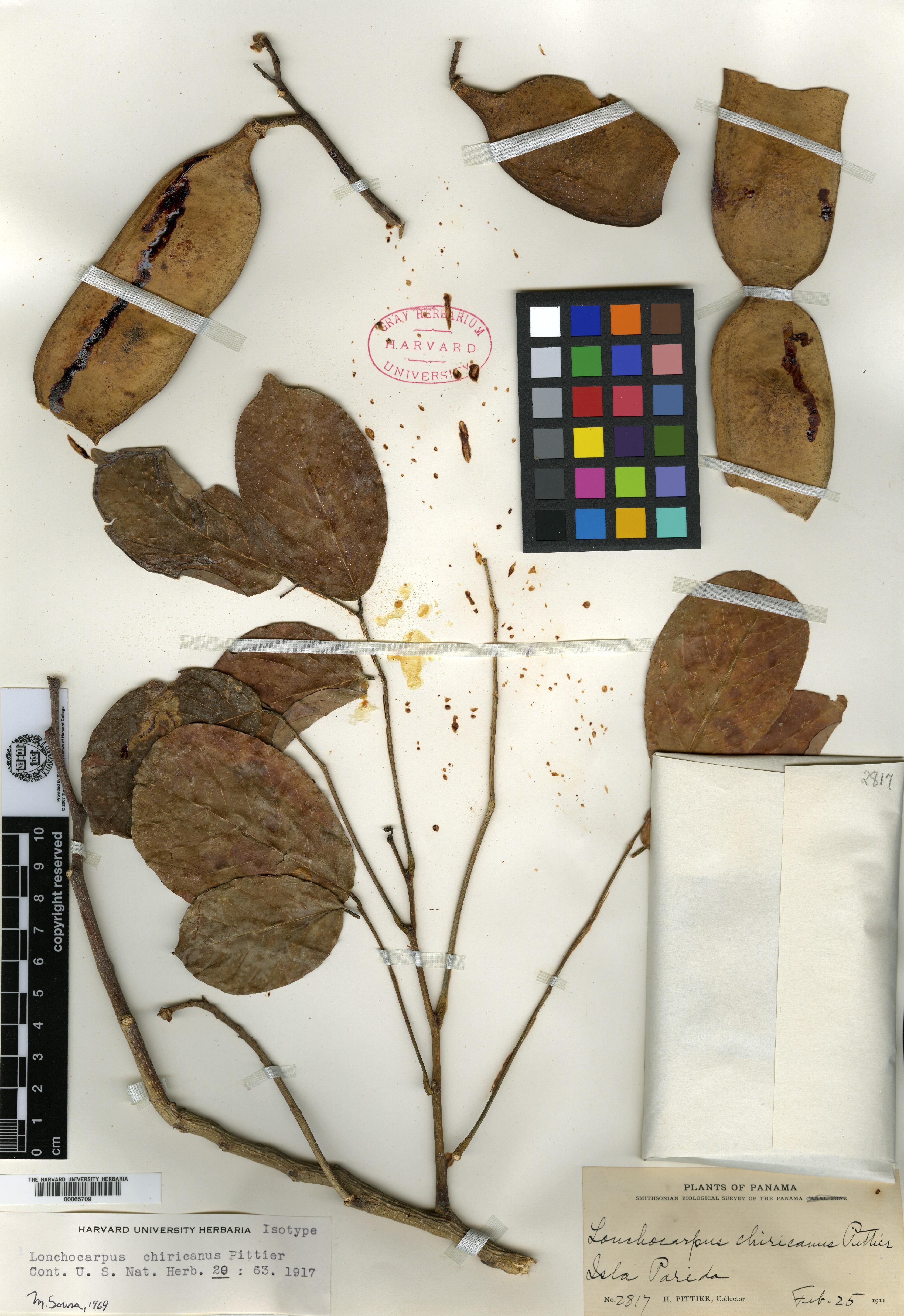 Lonchocarpus chiricanus image