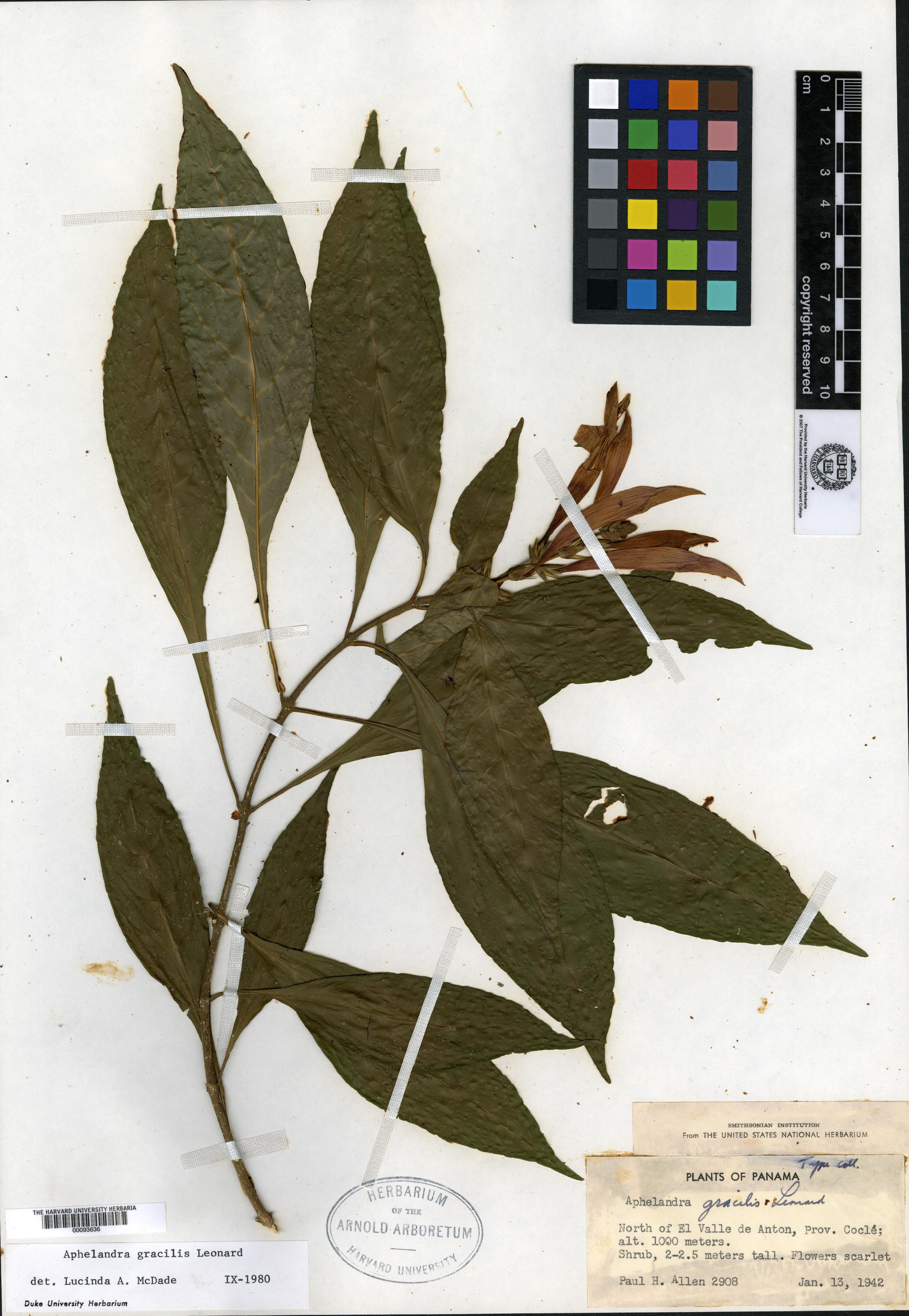 Aphelandra gracilis image