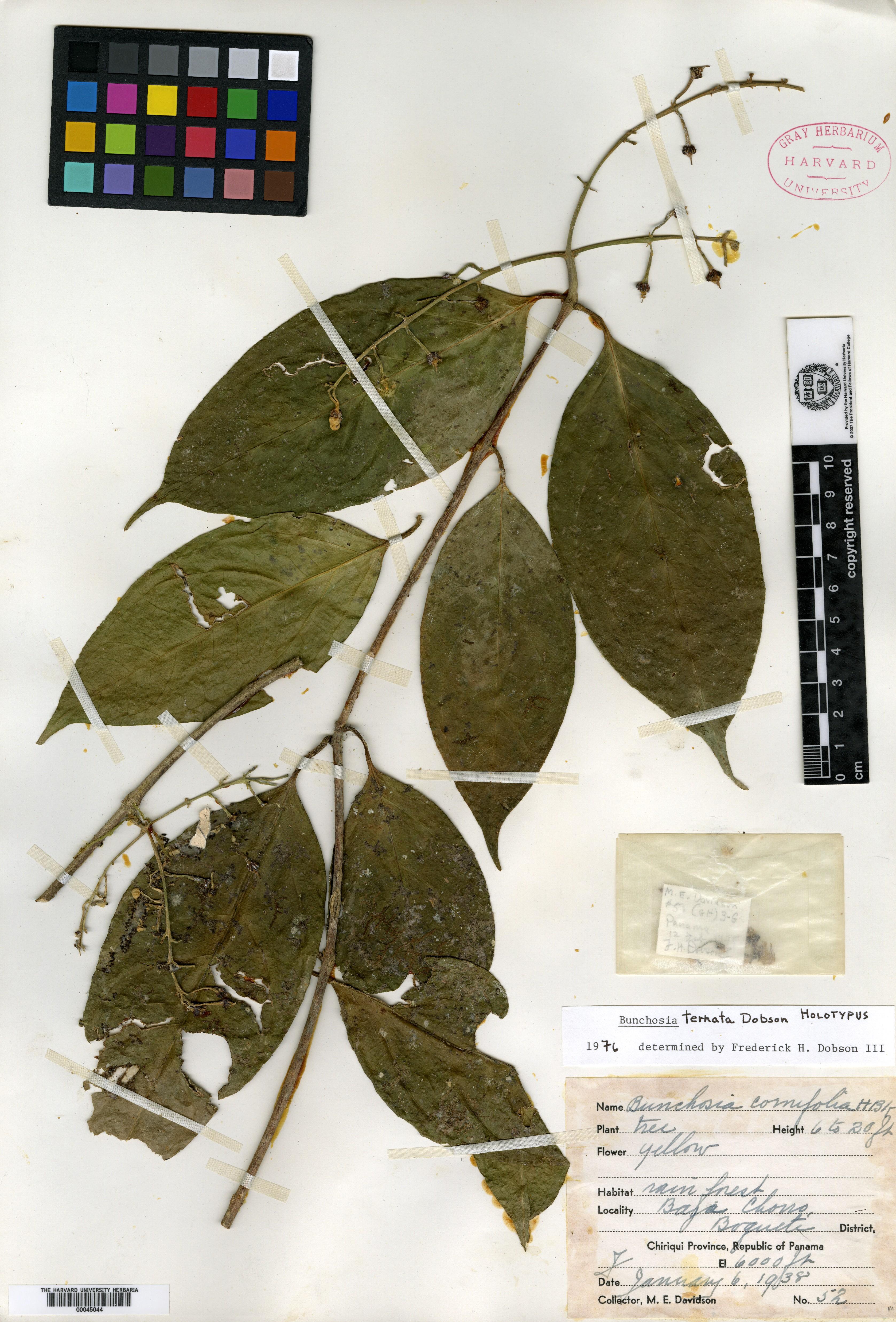 Bunchosia ternata image