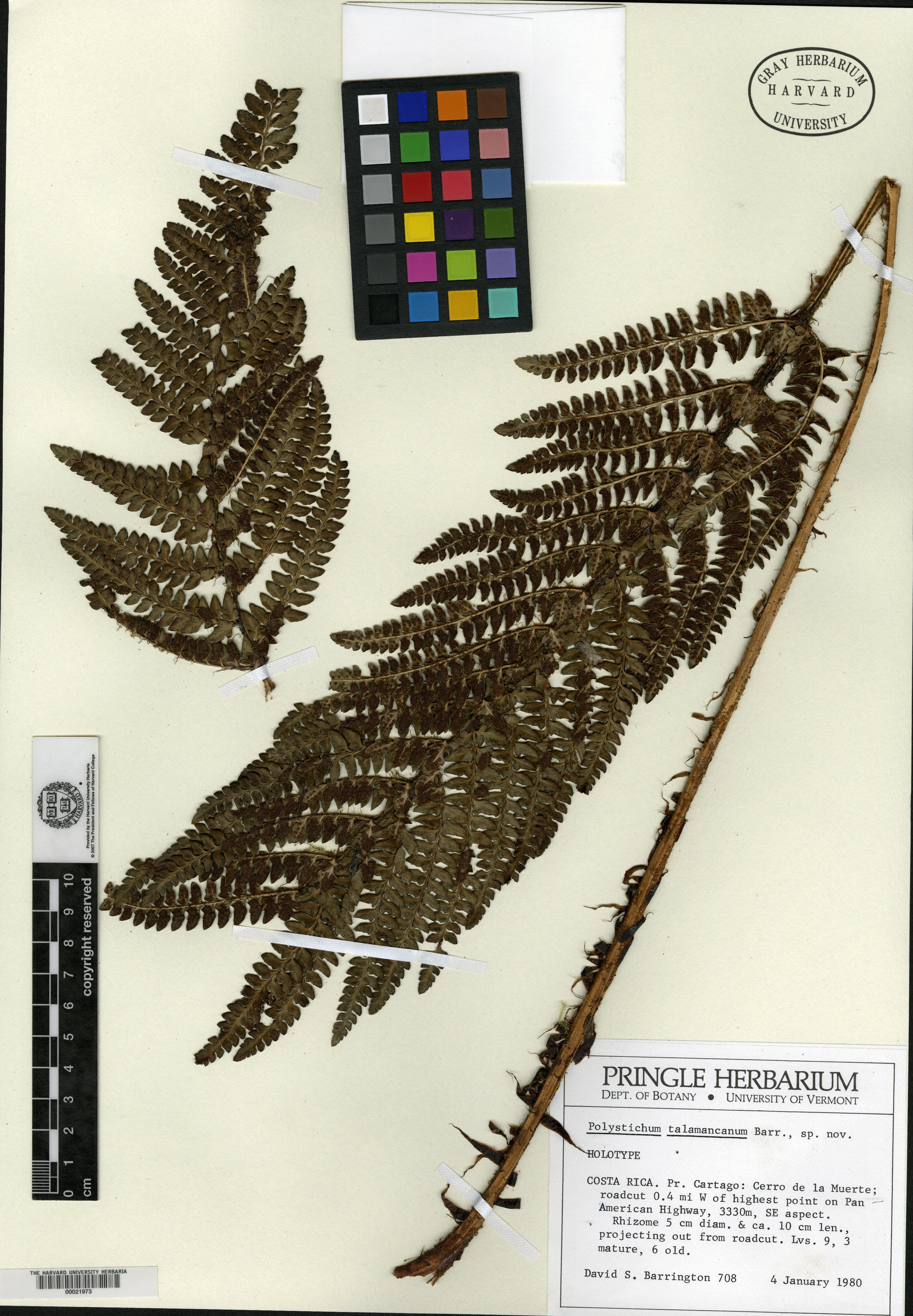Polystichum talamancanum image