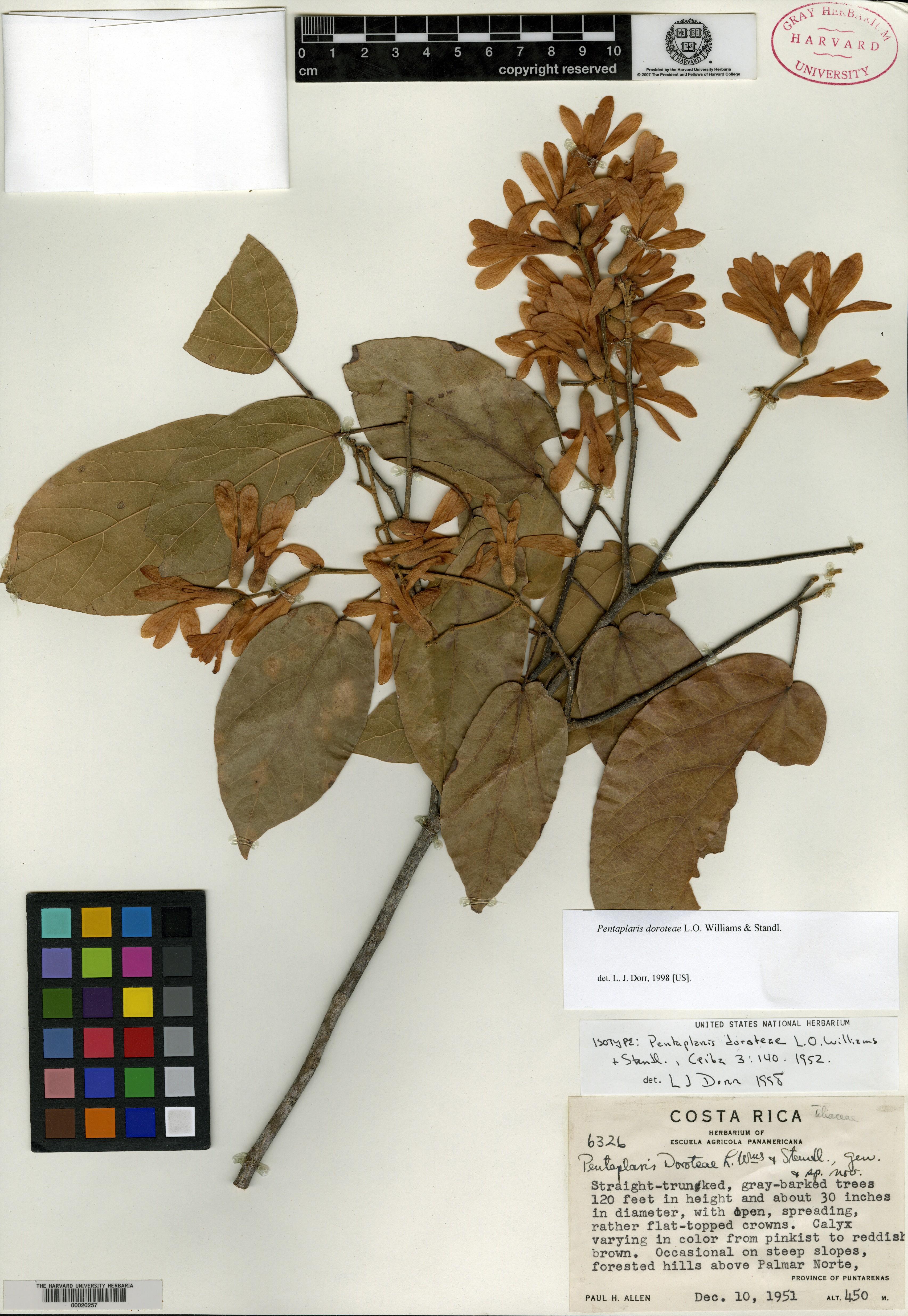 Pentaplaris doroteae image