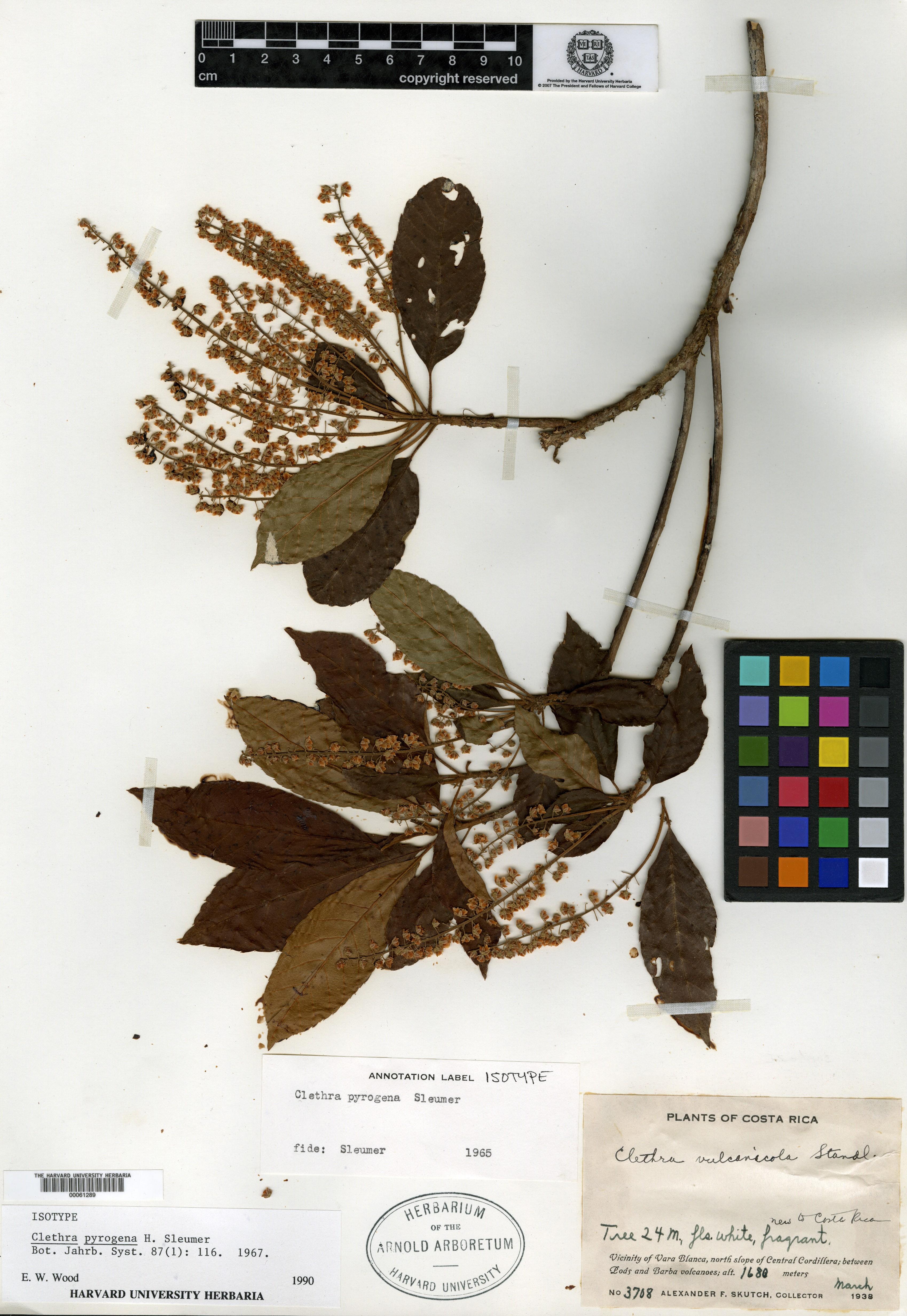 Clethra pyrogena image