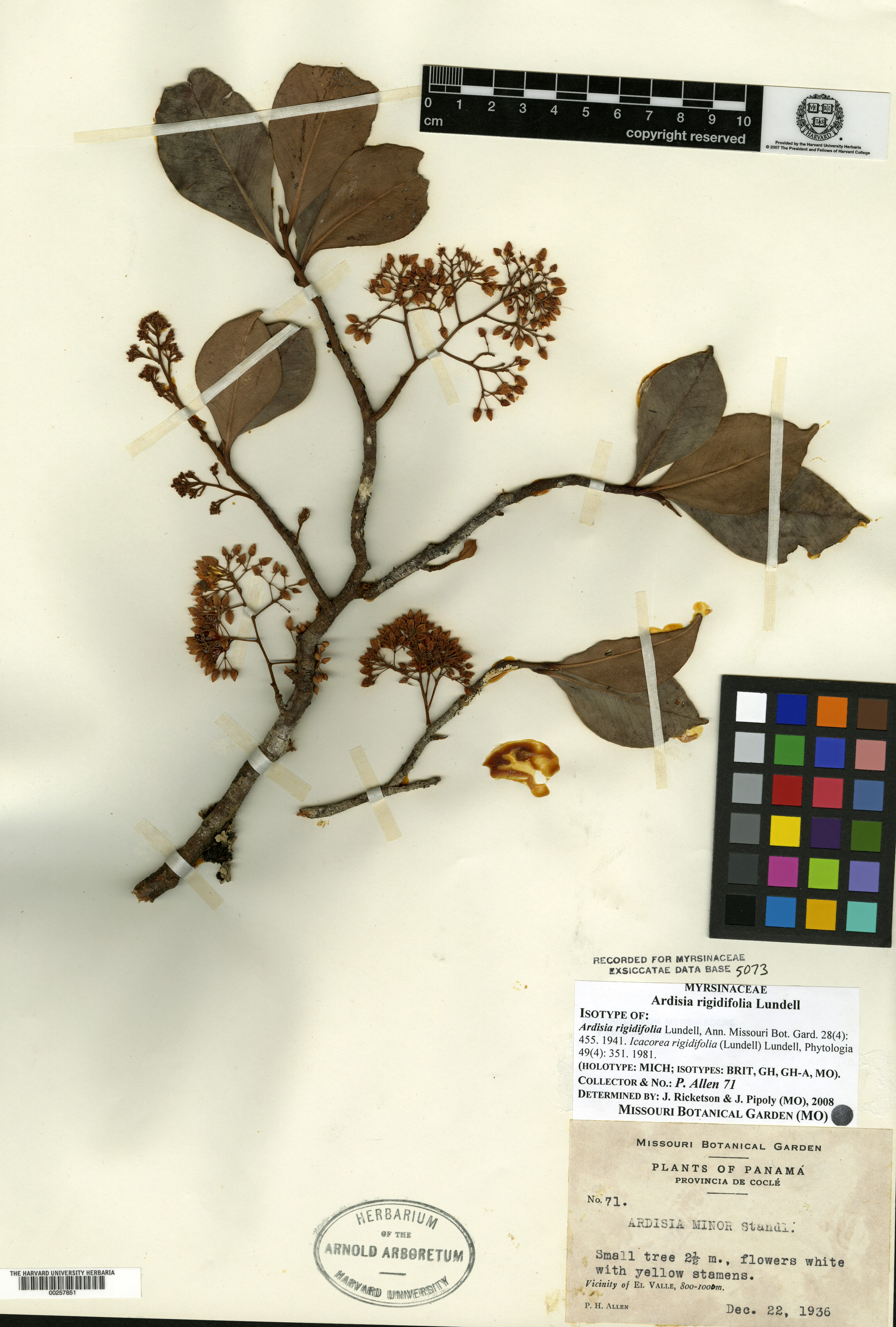 Ardisia rigidifolia image