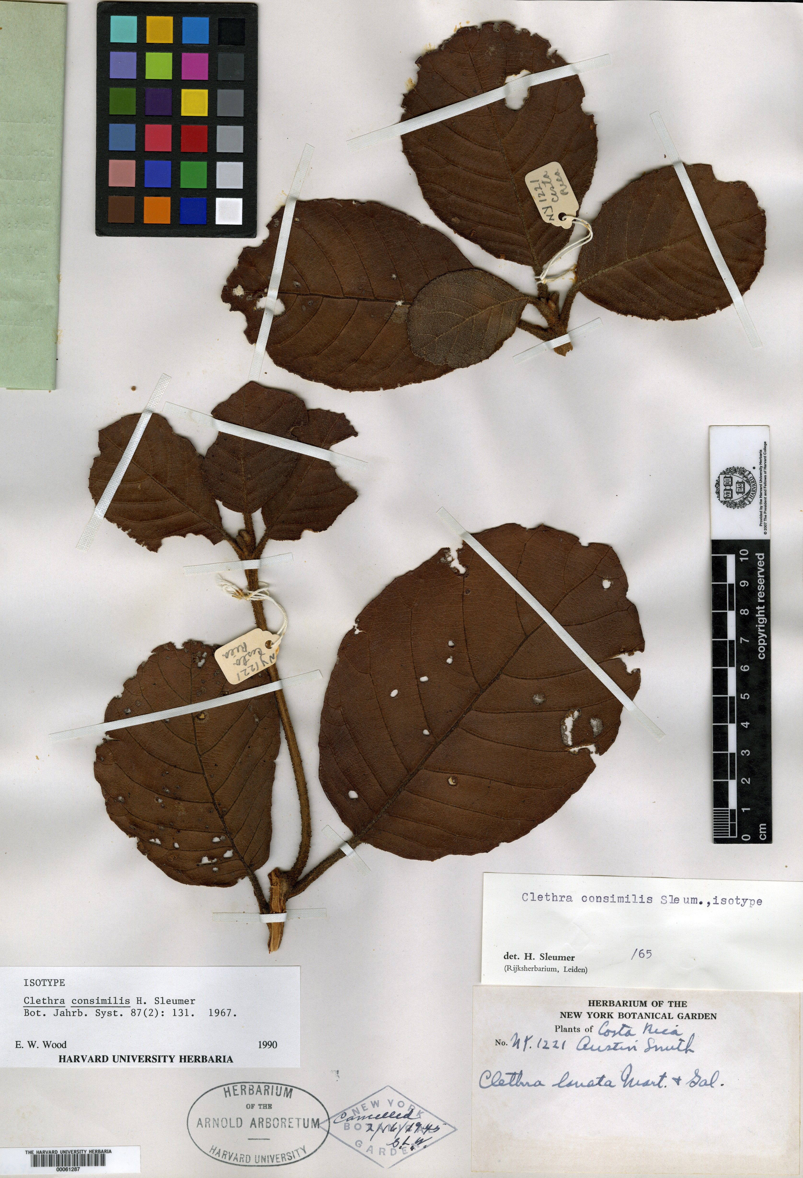 Clethra consimilis image