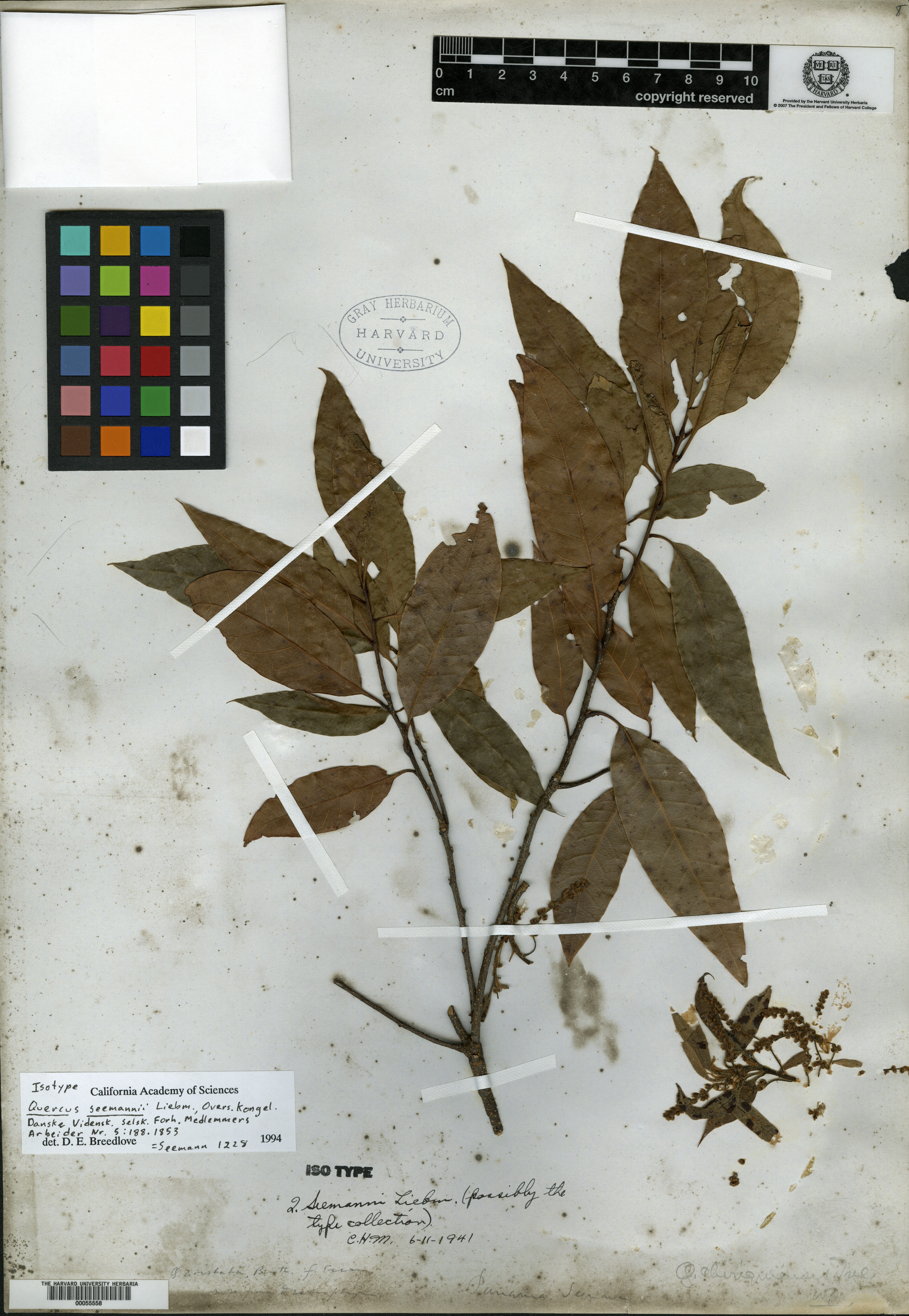 Quercus seemannii image