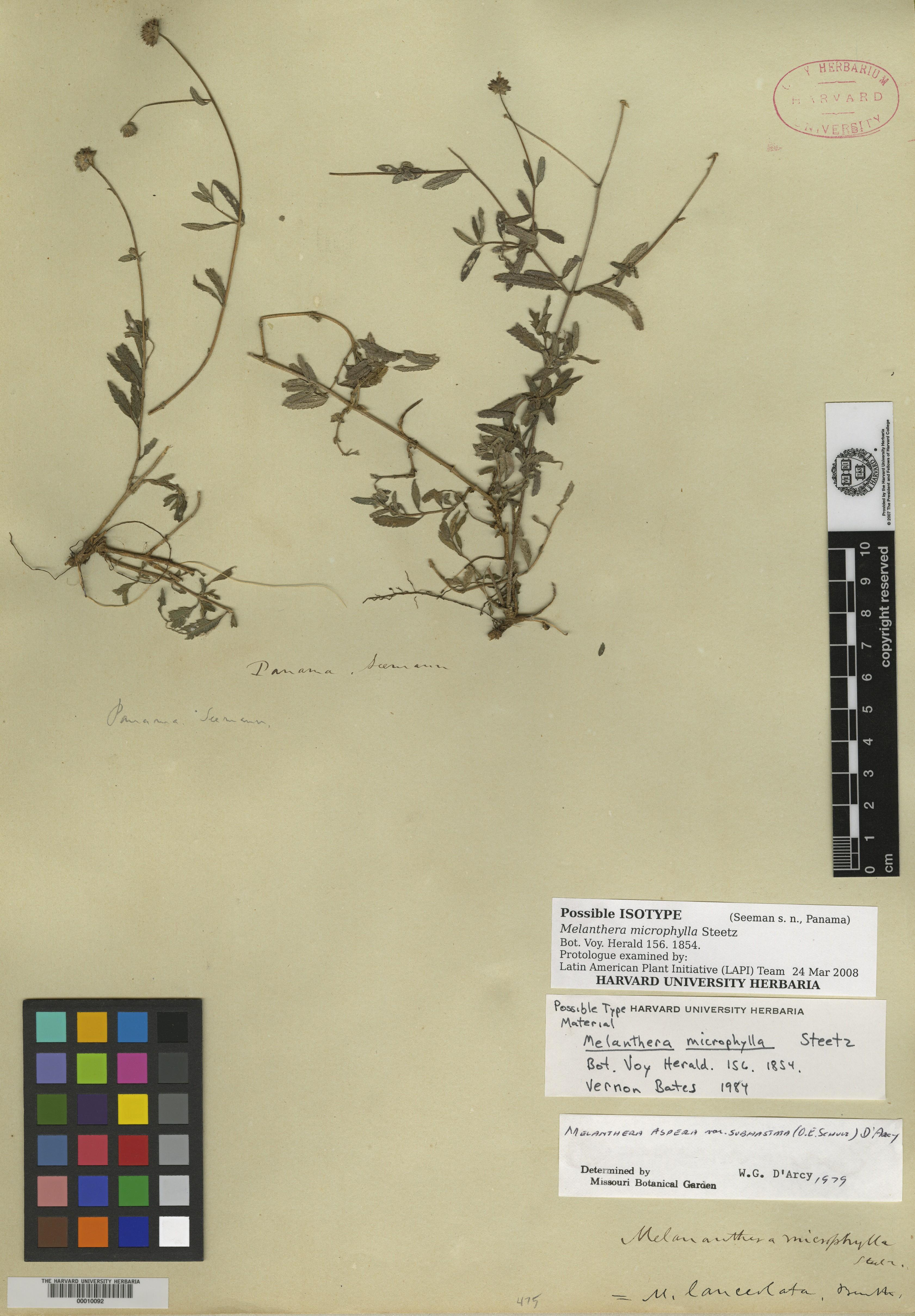 Melanthera angustifolia image