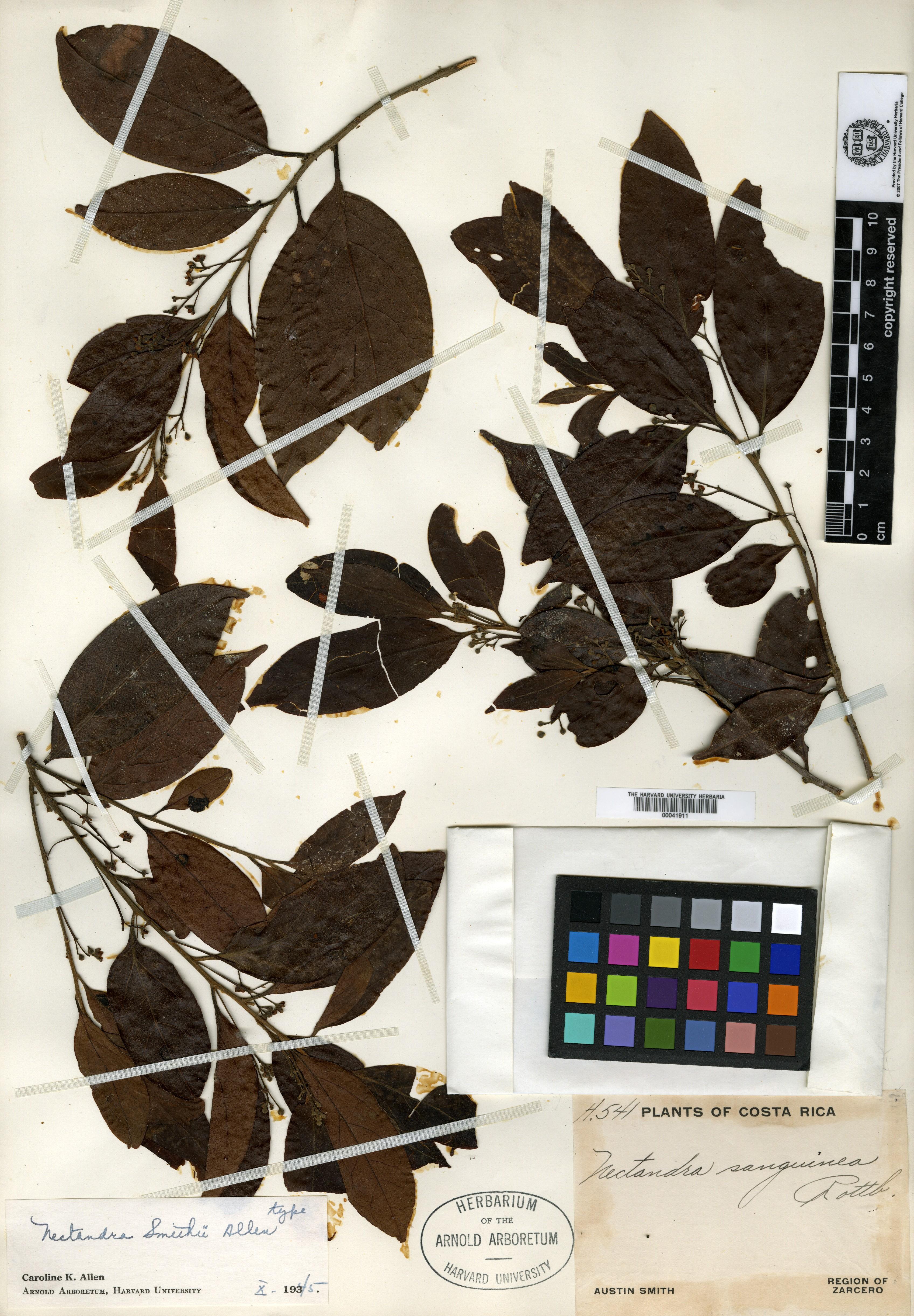 Nectandra smithii image