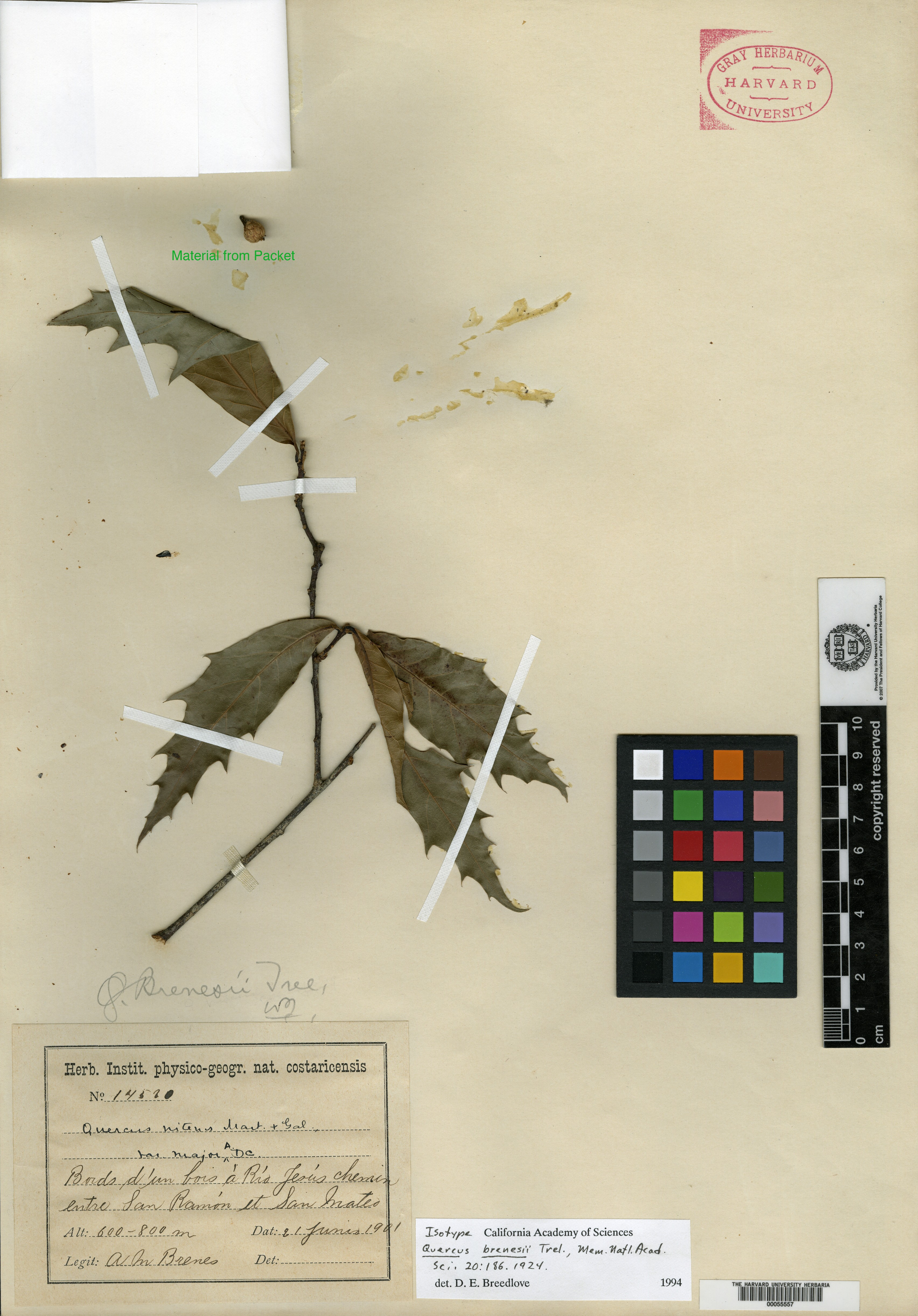 Quercus cortesii image