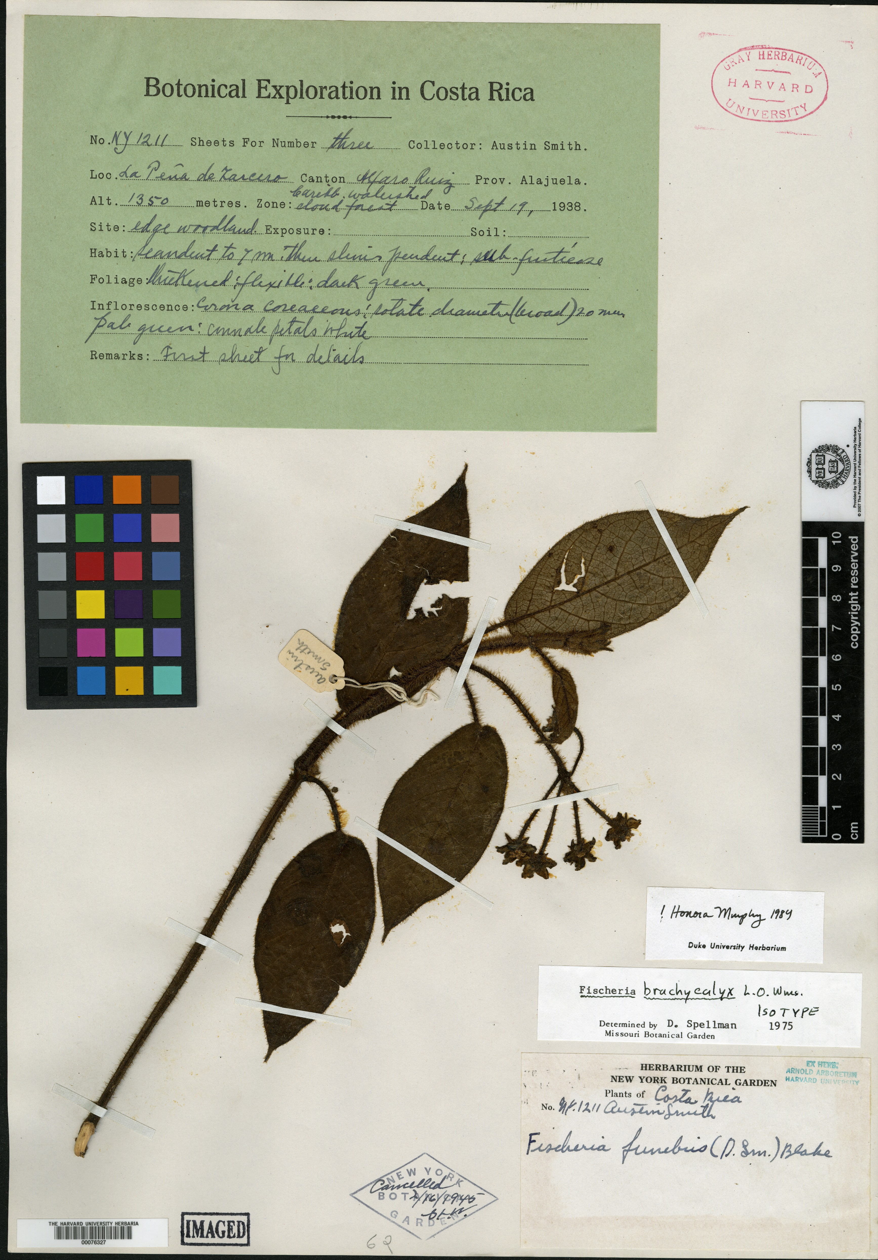 Fischeria brachycalyx image