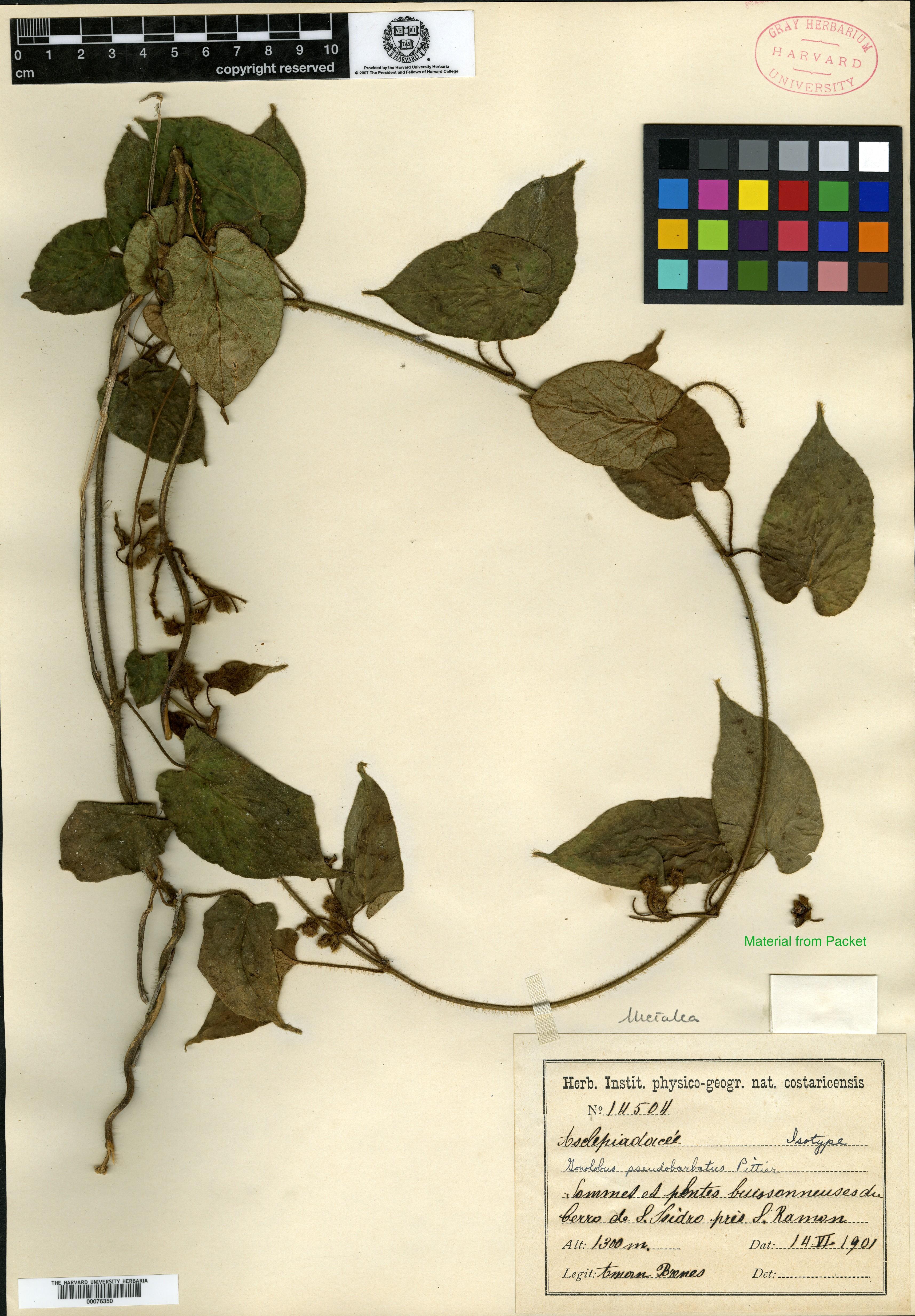 Matelea pseudobarbata image