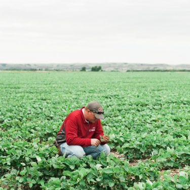 A South Dakota farmer monitoring the plants in his soybean field.