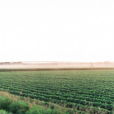 A soybean field being irrigated in the middle of summer.