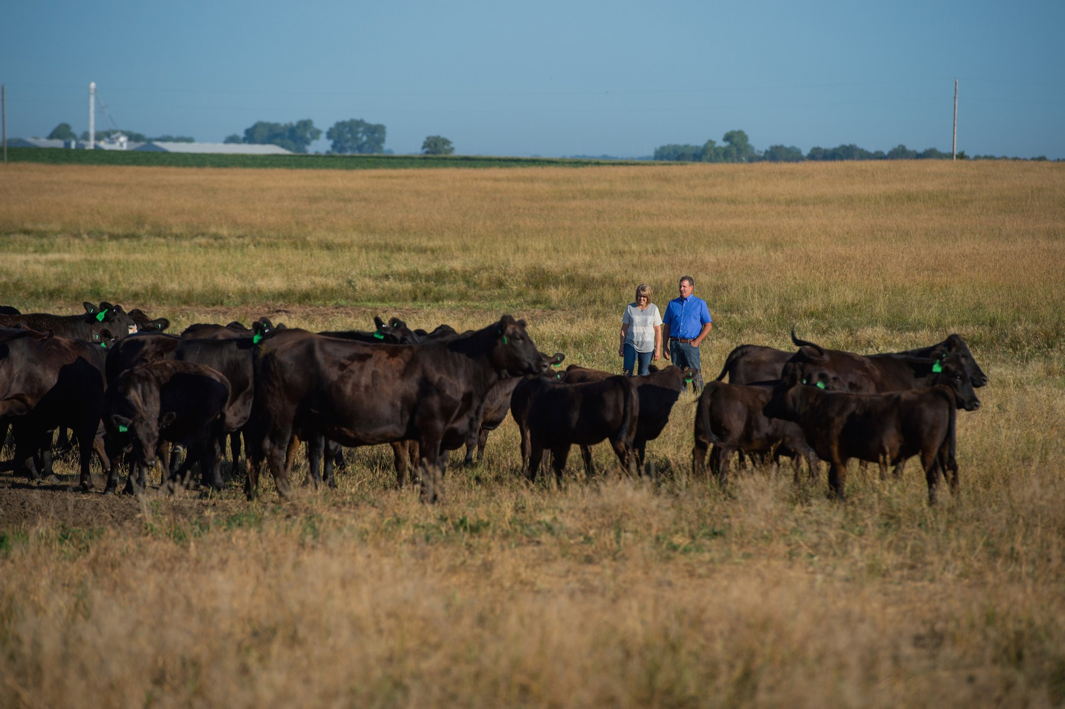 South Dakota farmers in a field with their cattle.