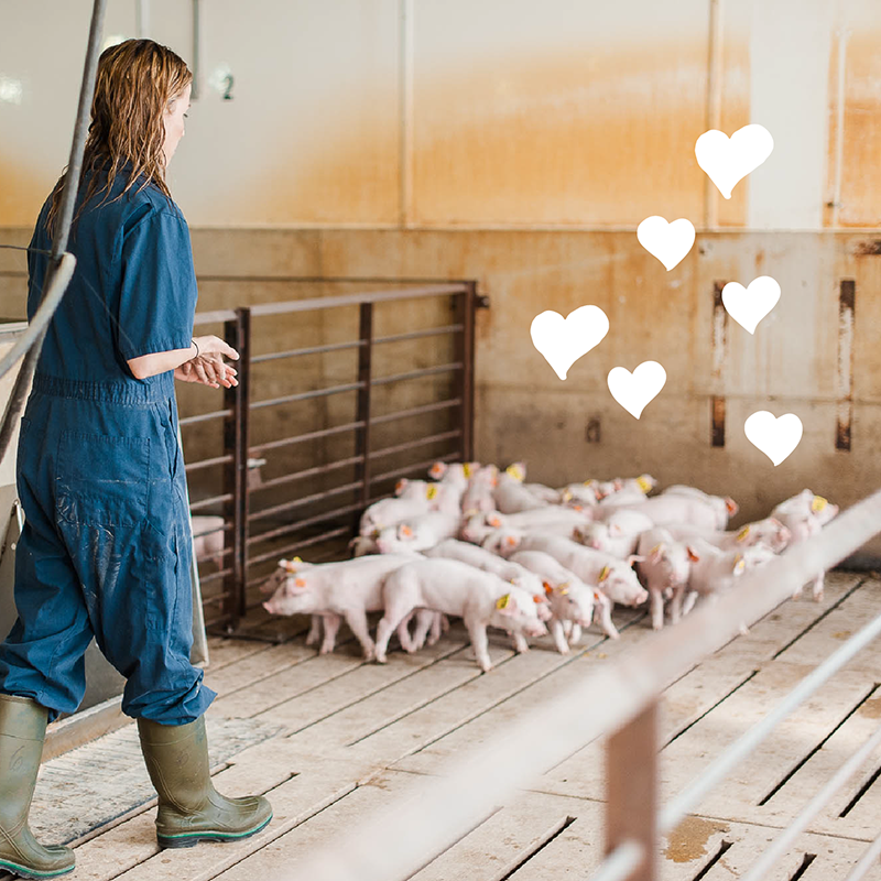 Amanda caring for a group of piglets.