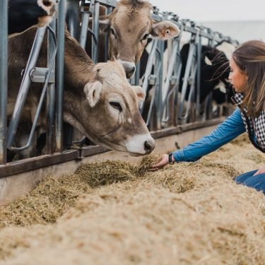Jaclynn feeding a Brown Swiss dairy cow at the SDSU dairy farm.