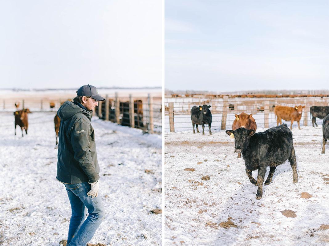 cattle-herd