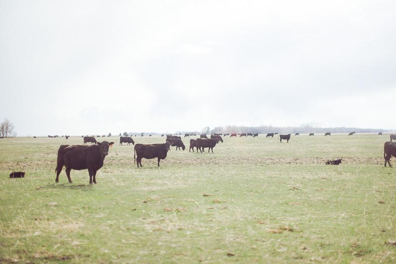 raising-cattle