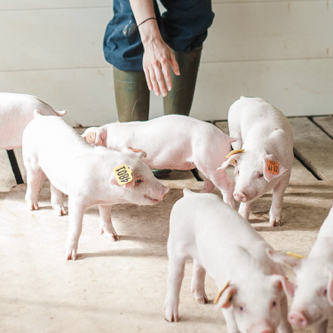Pigs Health and Care