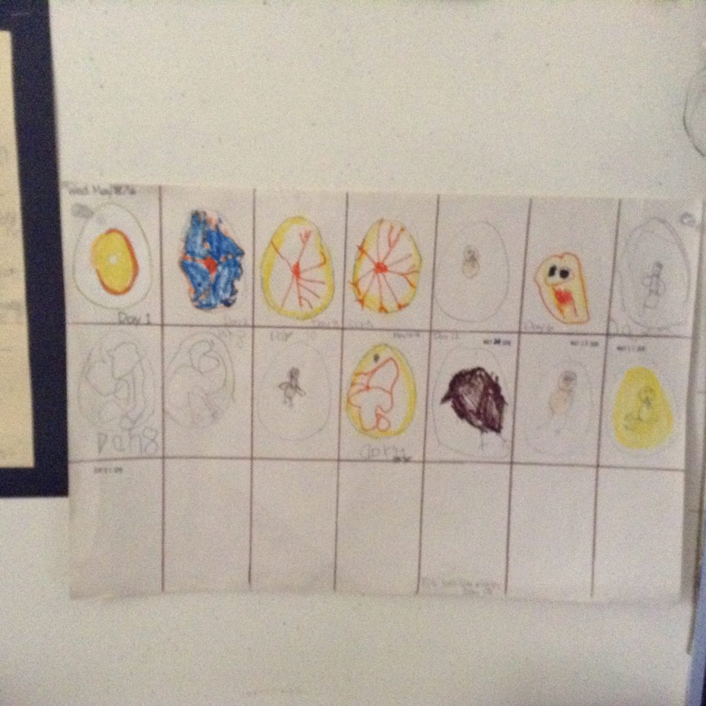 The children had the opportunity to draw each day of the life cycle onto our chart
