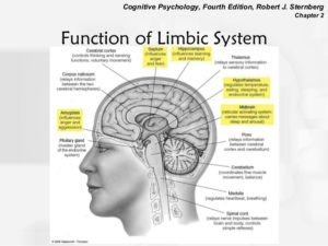 The Limbic System Lizard brain SWC HealthcareLimbic System Function